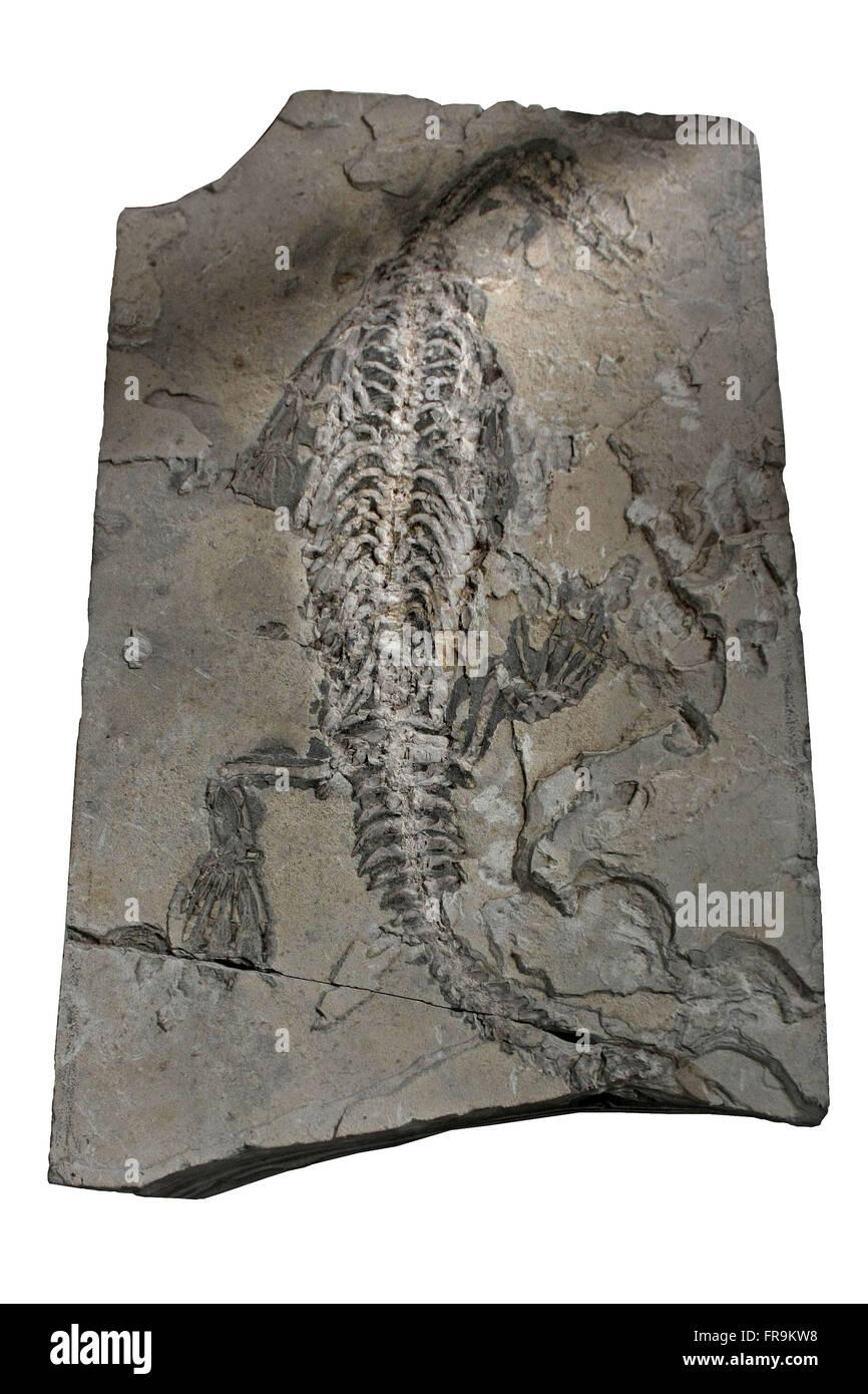 Mesossauro fossilizzato intarsi in pietra - Museo Padre Daniel Cargnin Immagini Stock