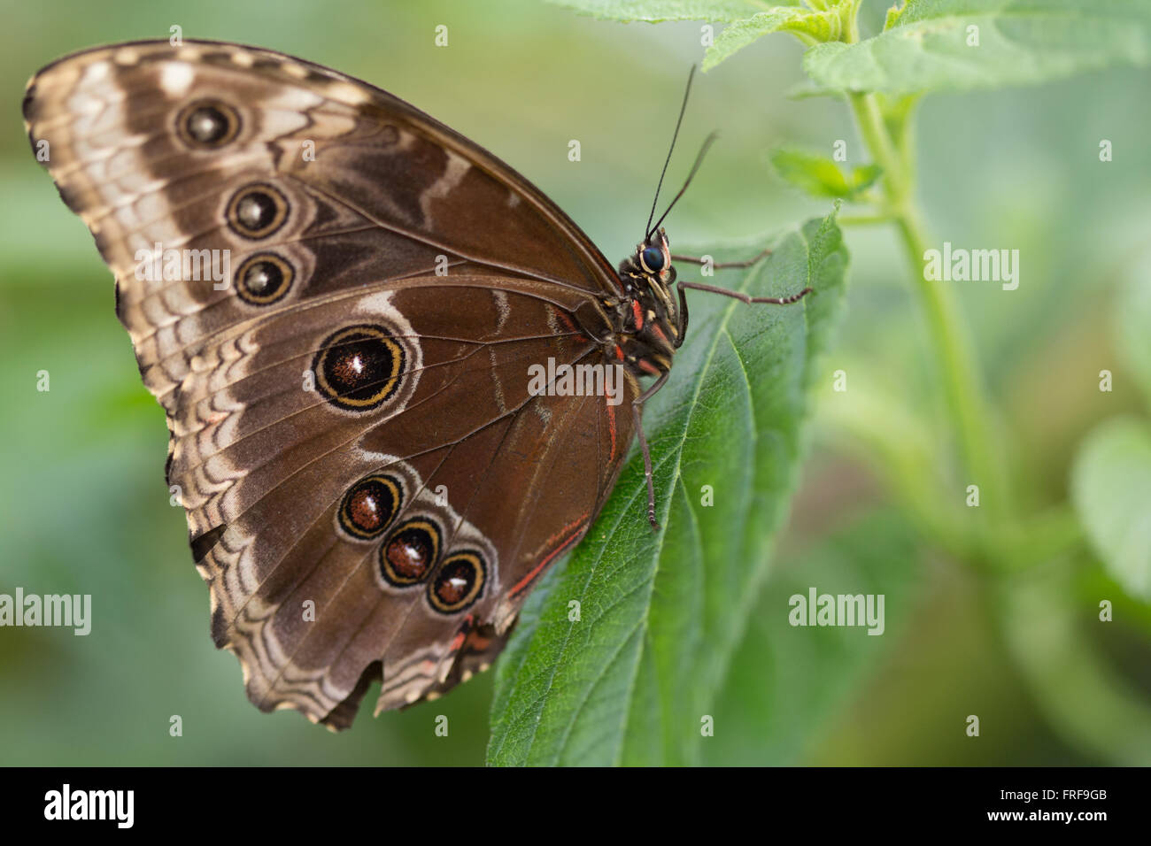 Blue Morpho Butterfly macro. Immagini Stock