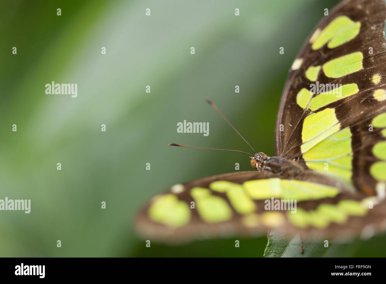 Siproeta Stelenes. La Malachite Butterfly. Immagini Stock