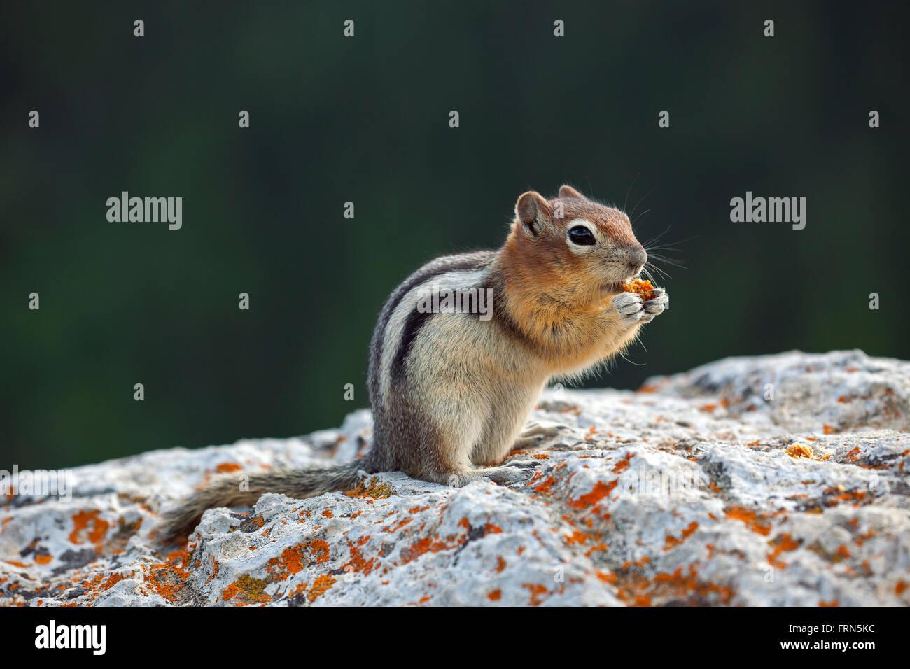 Golden-massa mantled scoiattolo (Callospermophilus lateralis) su roccia alimentazione su handout, nativo di western Immagini Stock