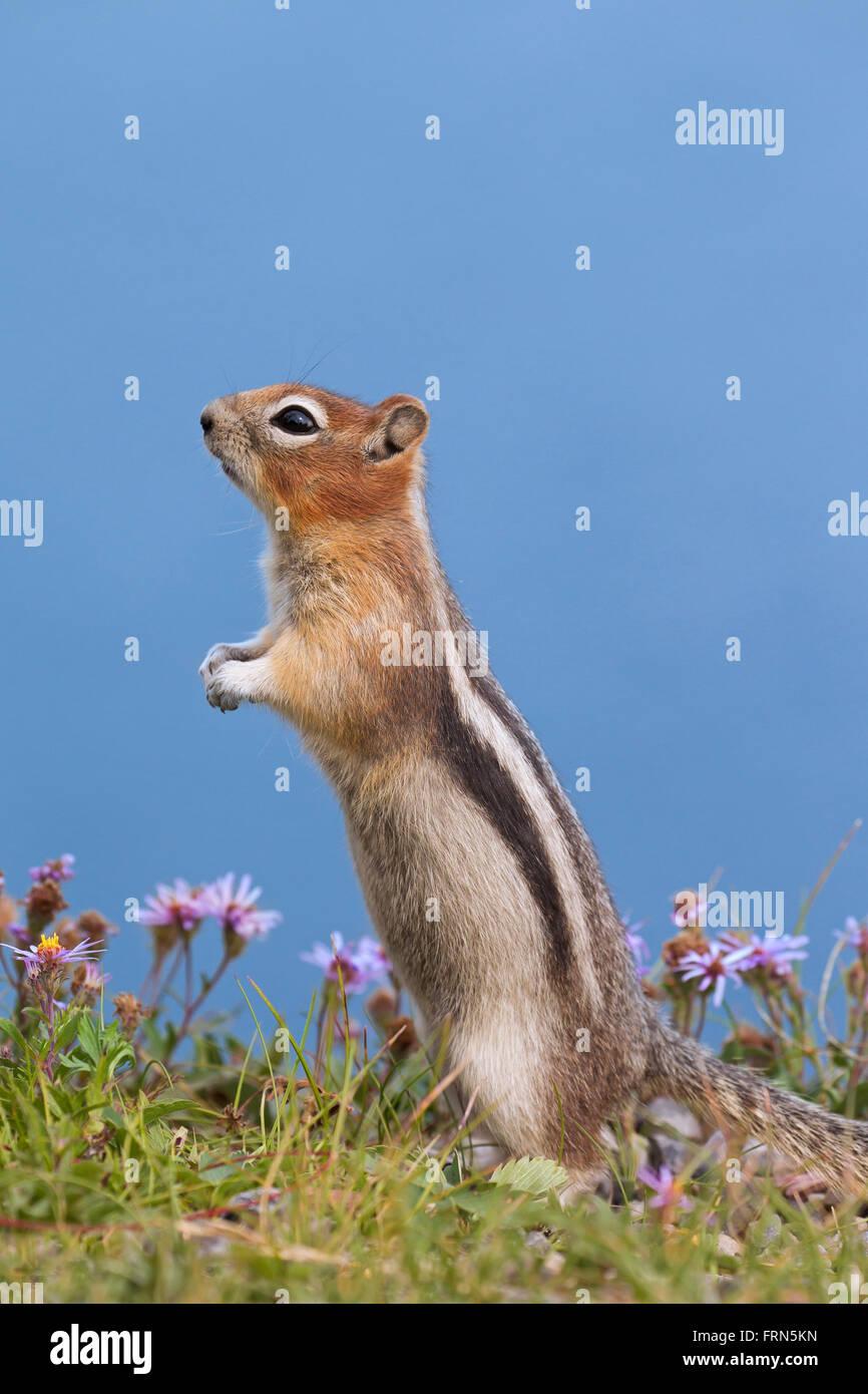 Golden-massa mantled scoiattolo (Callospermophilus lateralis) in posizione eretta, nativo di western America del Nord Foto Stock