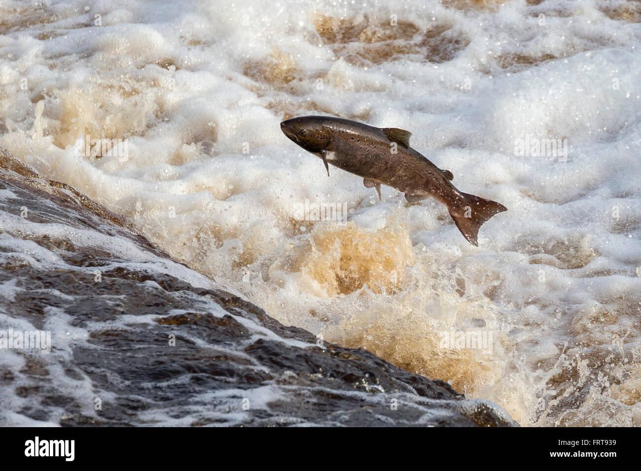Salmone atlantico (Salmo salar) saltando weir sulla migrazione a monte, sul fiume Tyne, Hexham, Northumberland, Immagini Stock