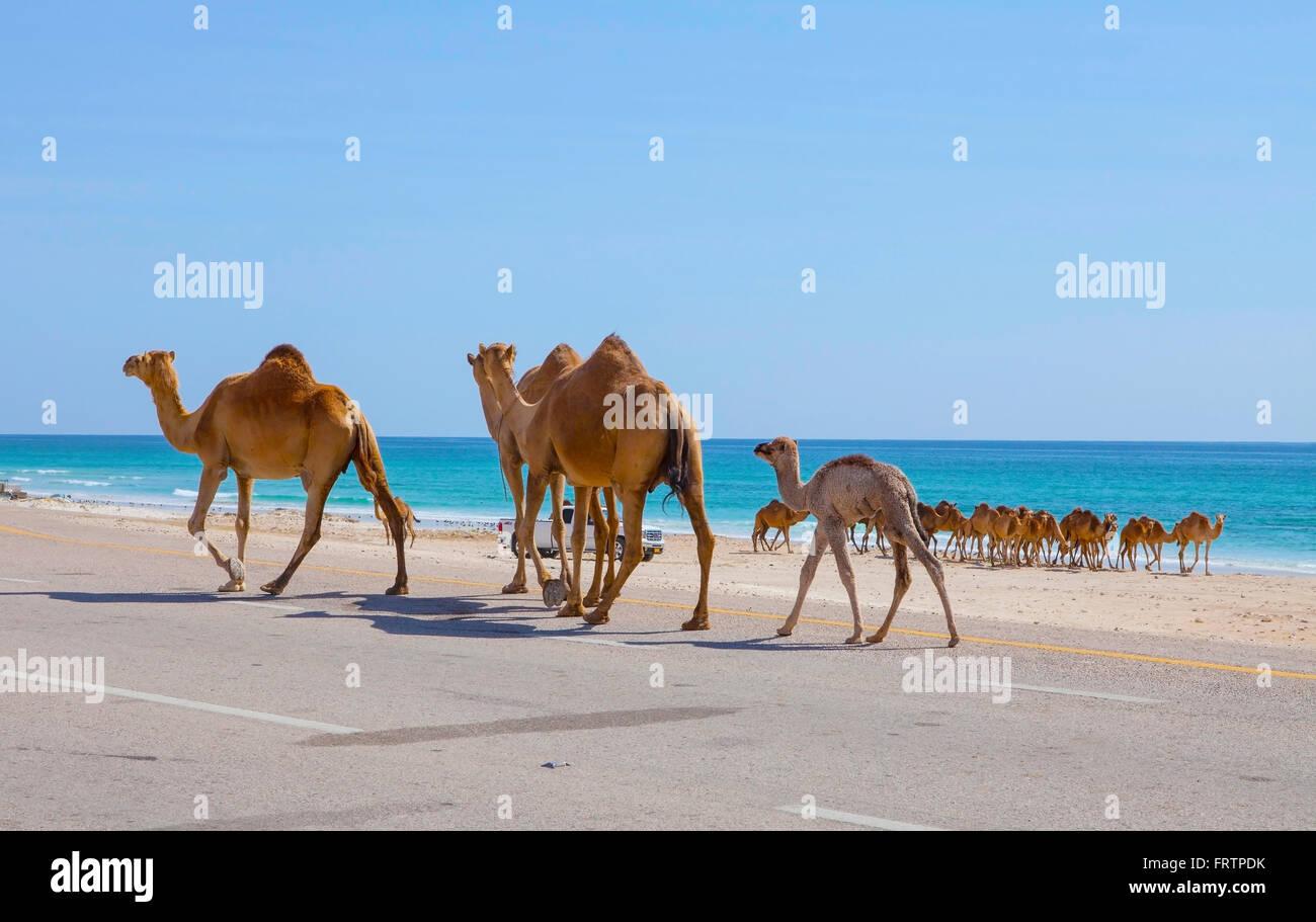 Cammelli attraversando la strada vicino al Mughsayl, Oman. Immagini Stock