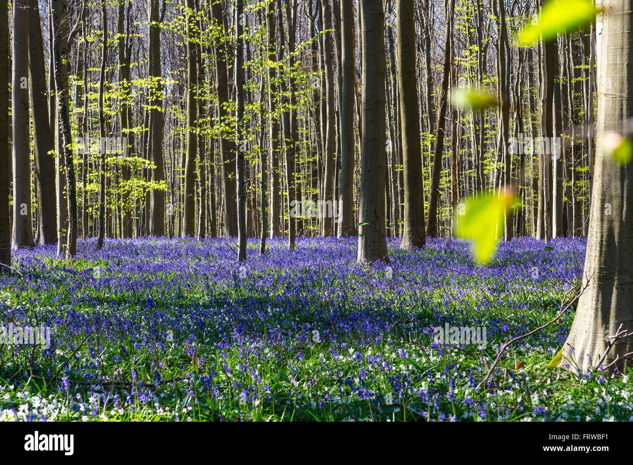 Bluebells, Tranendal lacrima (valle) in Hallerbos, Belgio Immagini Stock
