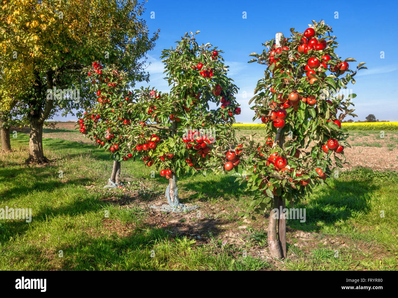 Tre piccoli alberi di mele con molti, mature mele rosse in un frutteto accanto a un campo. Immagini Stock
