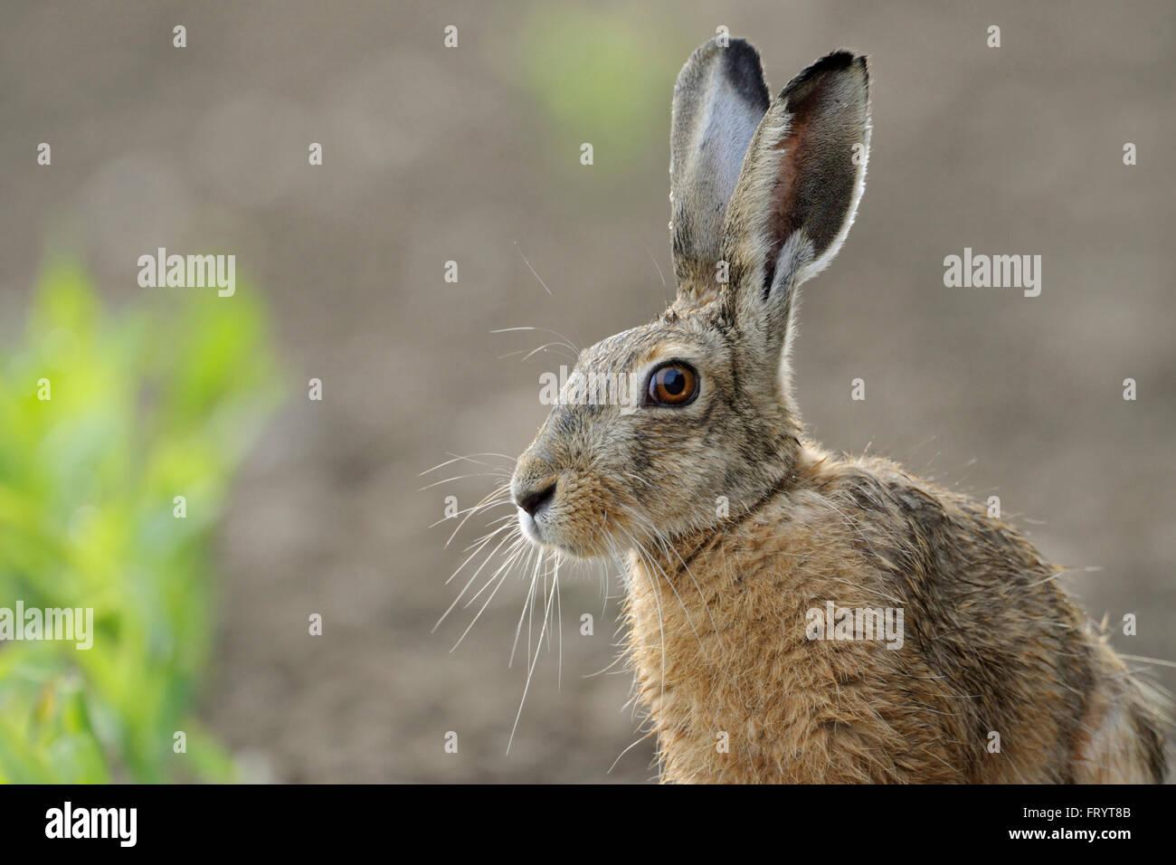 Brown Lepre / Europea Lepre / Feldhase ( Lepus europaeus ), vicino, colpo alla testa, seduto su un campo di mais, Immagini Stock