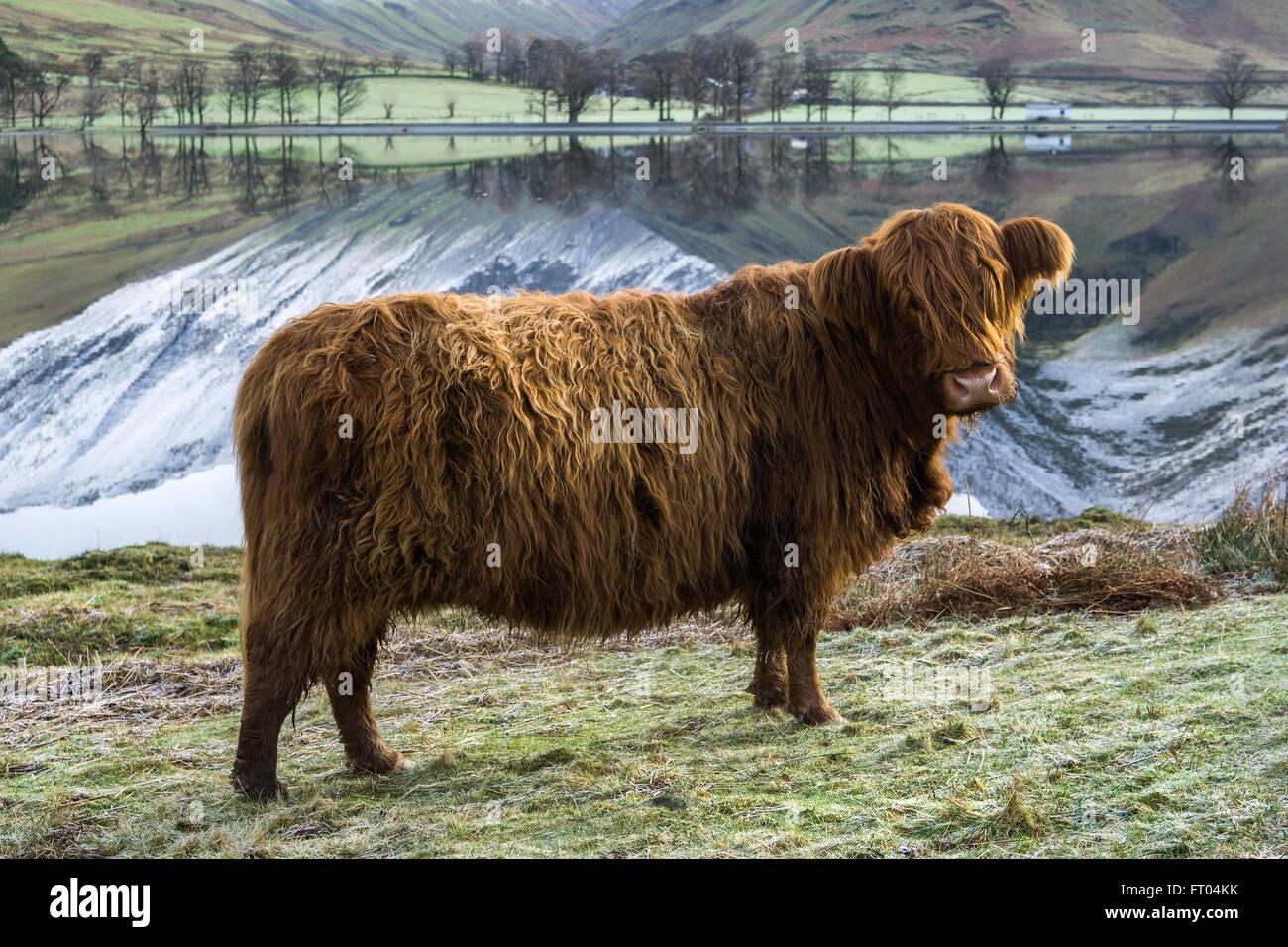 Curioso Highland bestiame al Buttermere su un gelido inverno mattina. Lake District, England, Regno Unito Immagini Stock