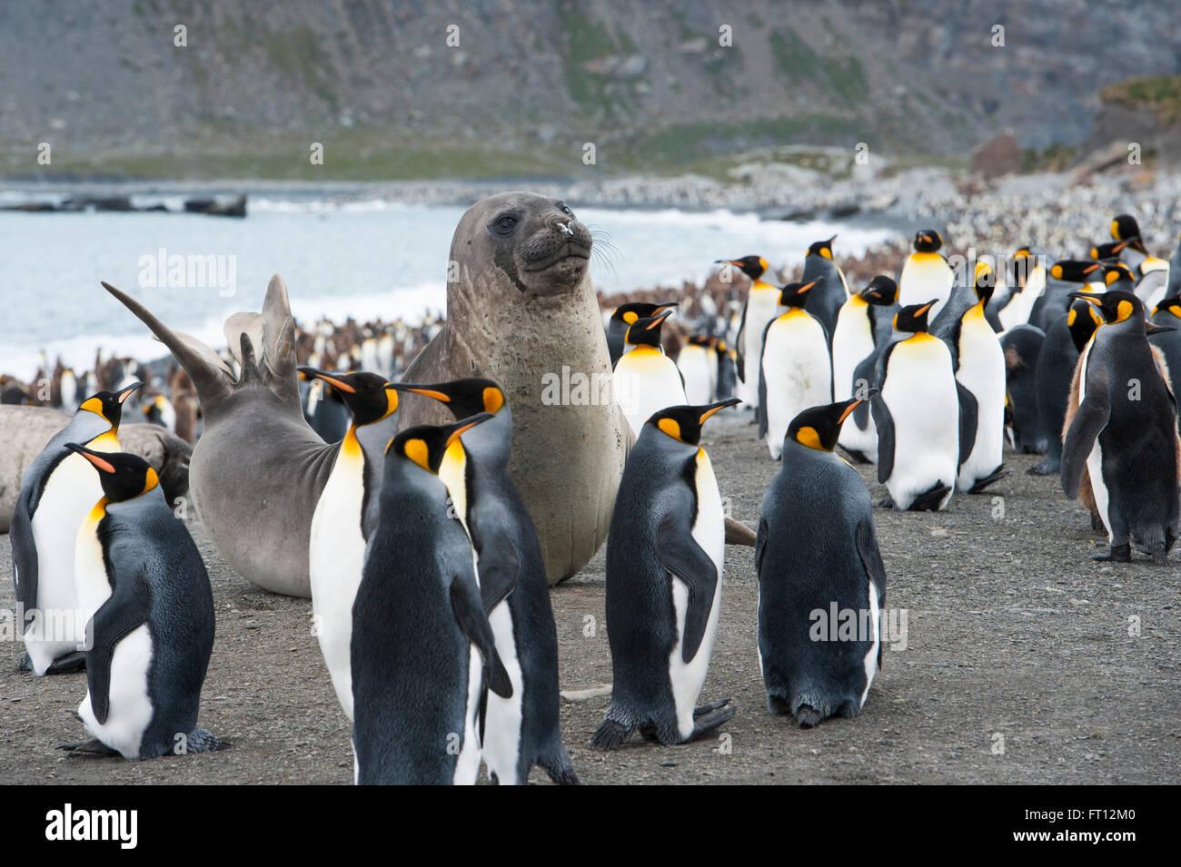 Un leone di mare e immerso in un ampio gruppo di pinguini imperatore Aptenodytes forsteri sulla spiaggia, Porto Immagini Stock