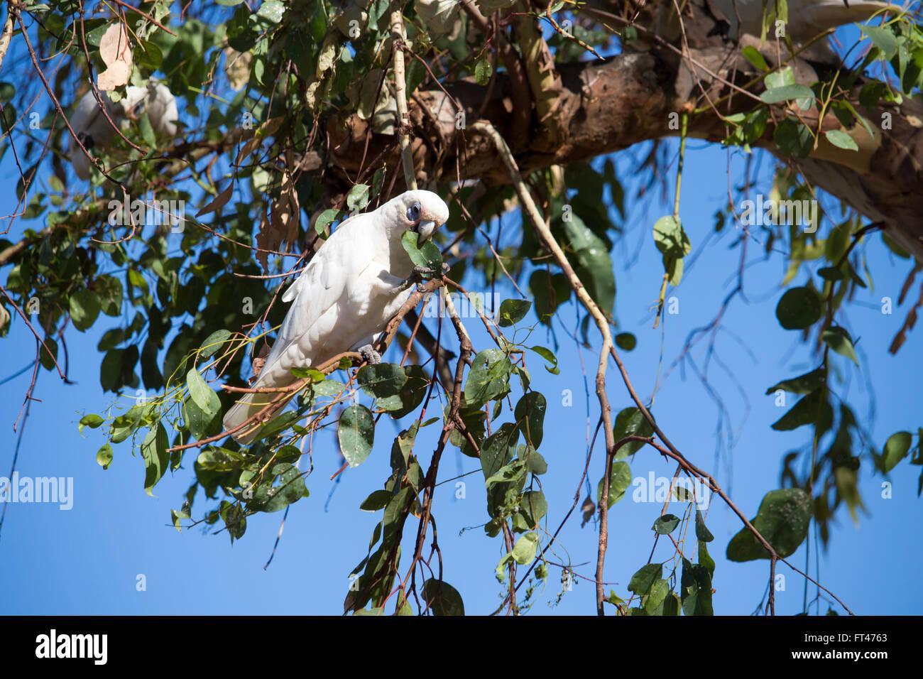 Un bianco Australian corella sottogenere Licmetis di bianco cacatua (genere cacatua) è appollaiato su un ramo Immagini Stock
