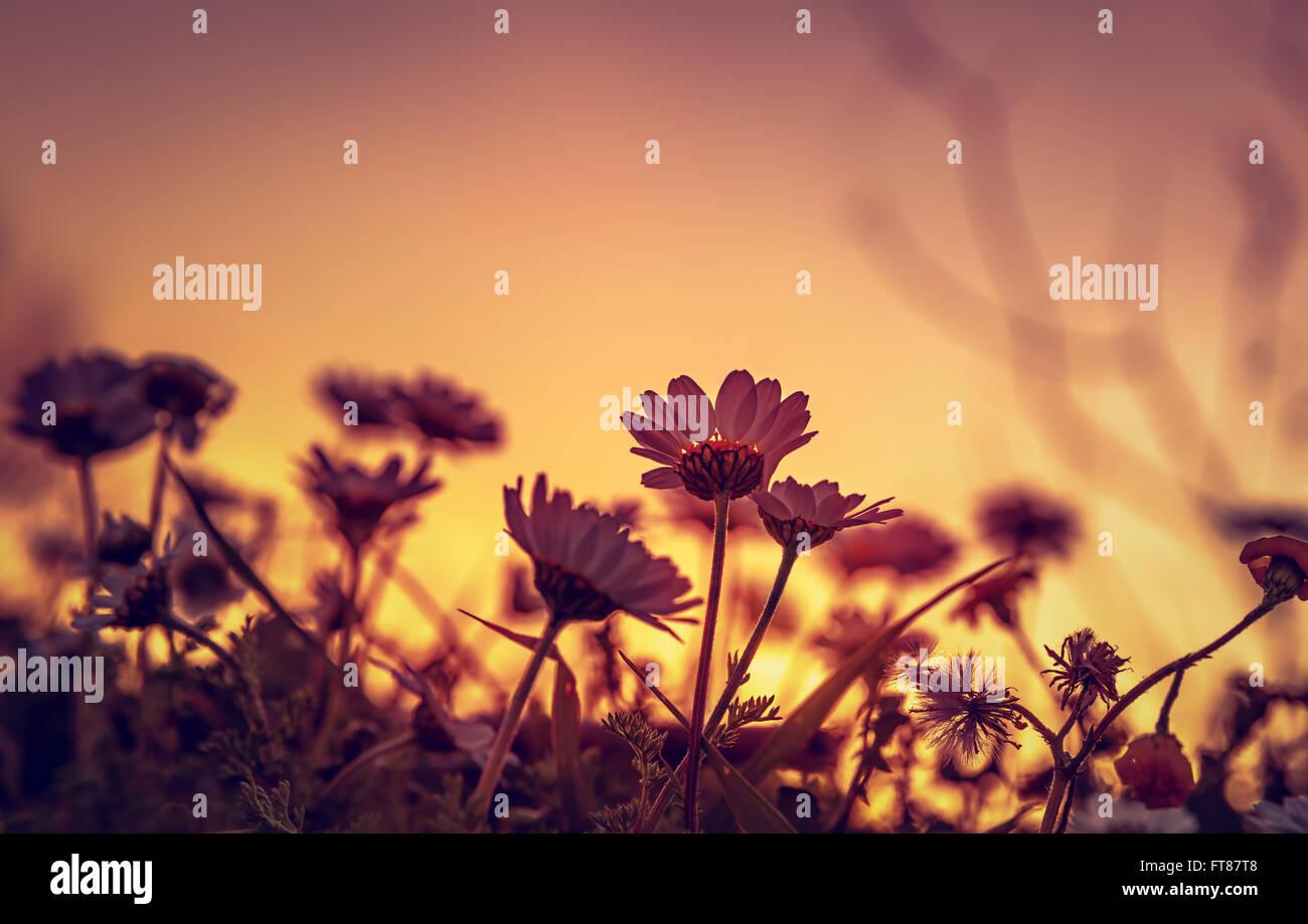 Bellissimo campo a margherita sulla luce del tramonto, silhouette di poco delicati fiori bianchi su arancione del Immagini Stock