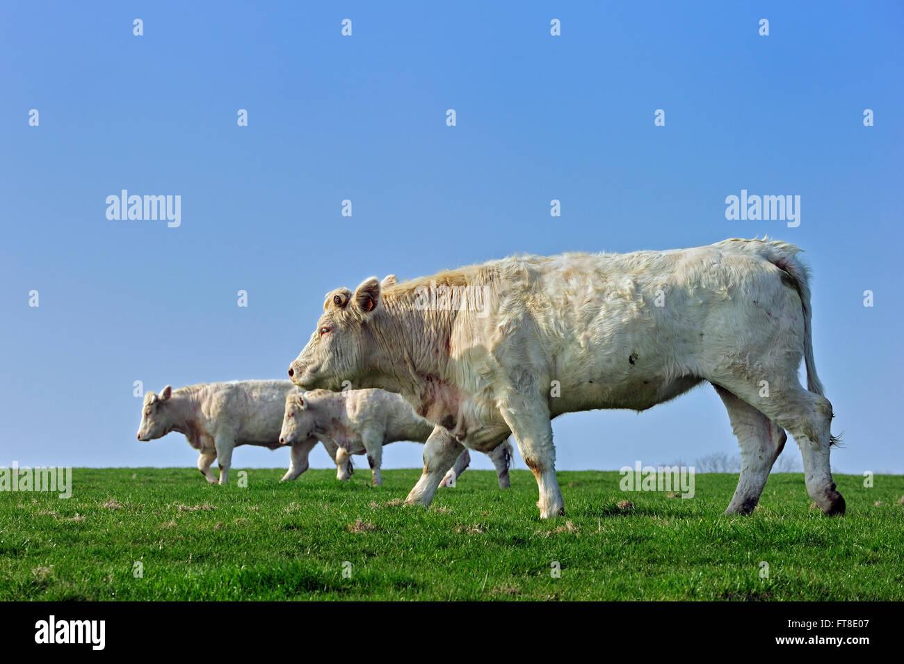 Charolais vacche (Bos taurus), razza di taurina bovini da carne dal Charolais area circostante Charolles, Borgogna, Foto Stock