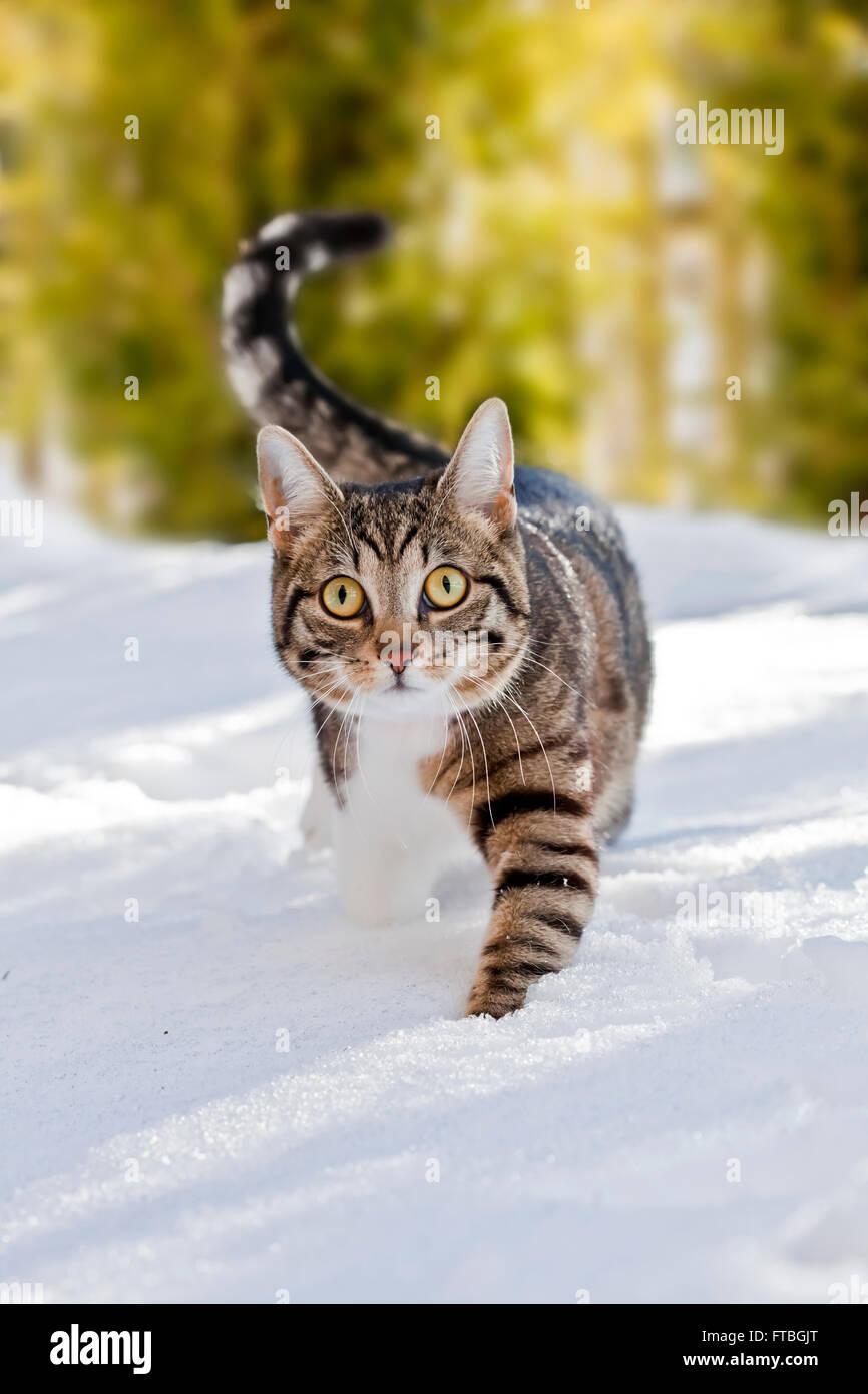 Cat a piedi attraverso la neve fresca, Baviera, Germania Immagini Stock