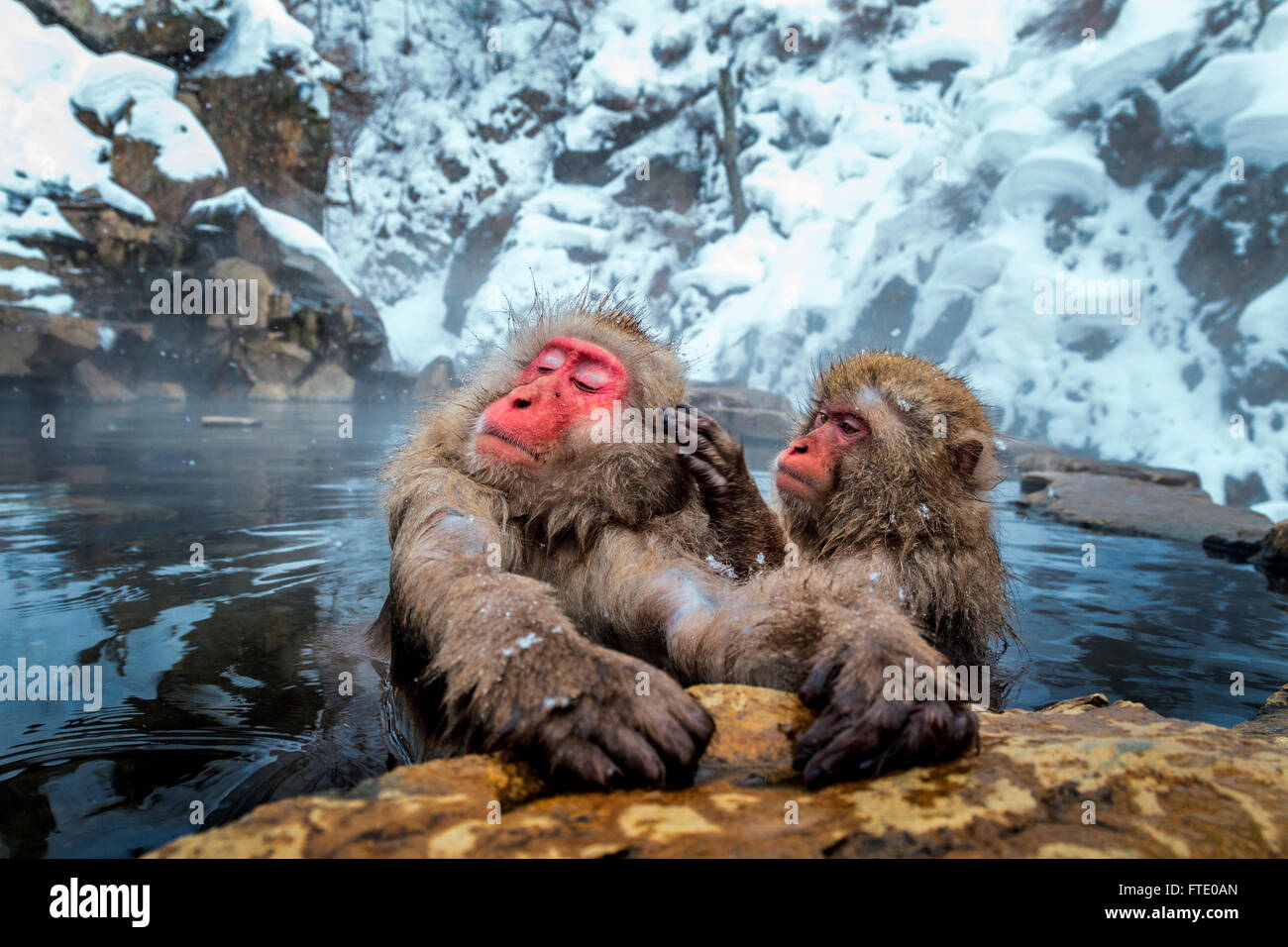 Neve scimmie grooming Jigokudani a caldo molla, Giappone. Immagini Stock