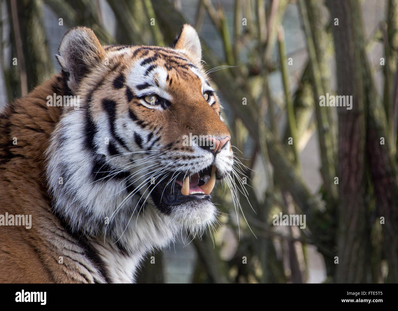 Maschio (Amur Siberian) tiger Foto Stock