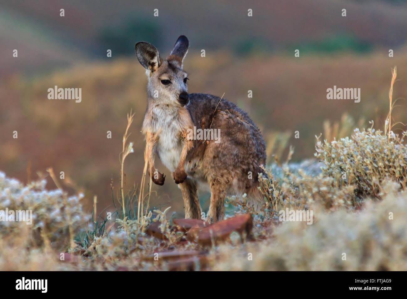 La vita selvatica animali permanente di canguro circondato da habitat naturale - erba e arbusti nel parco nazionale. Immagini Stock