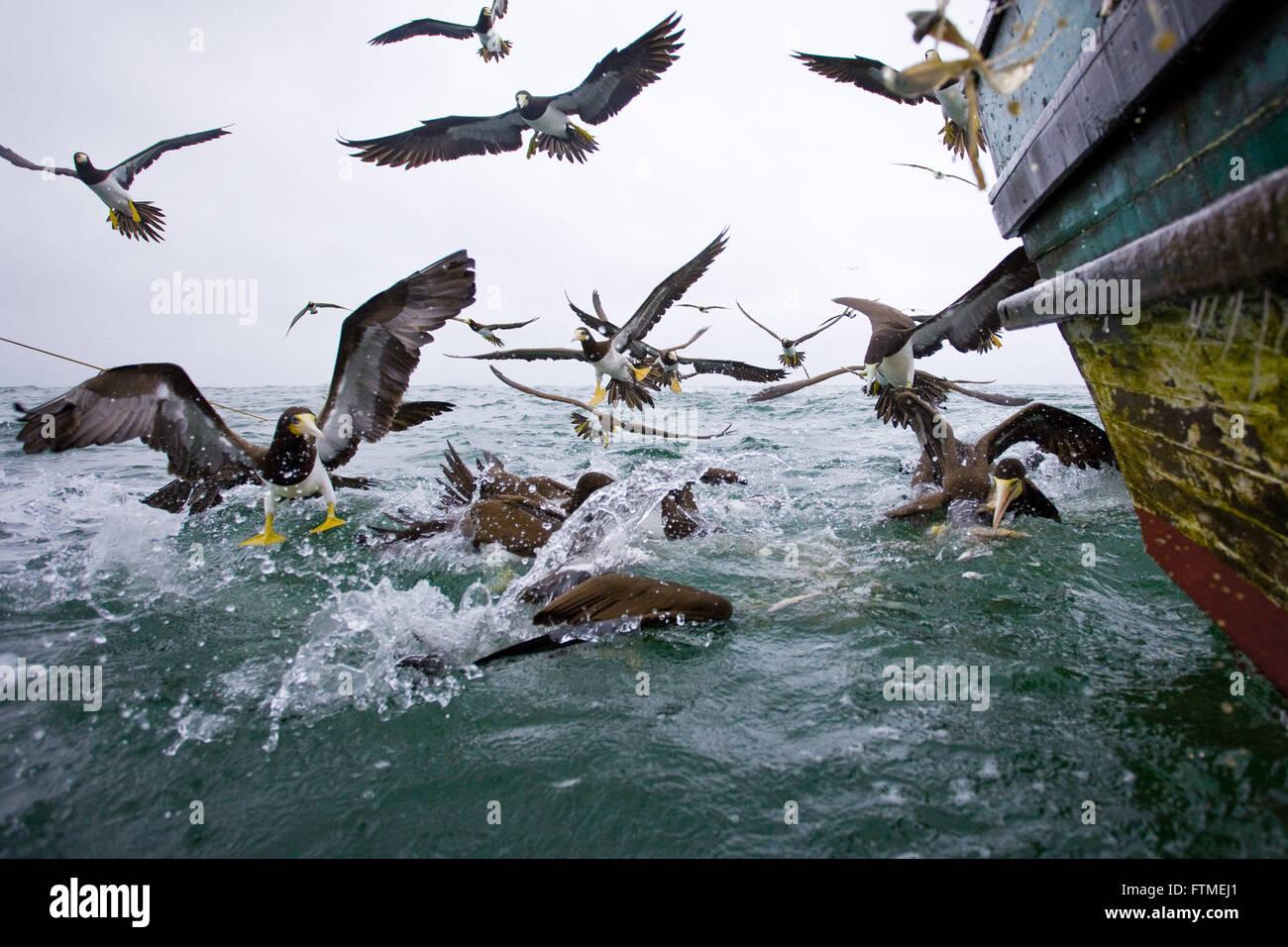 Alimentazione degli uccelli su scarti di praticare la pesca con reti a strascico del litorale di Santa Catarina Immagini Stock