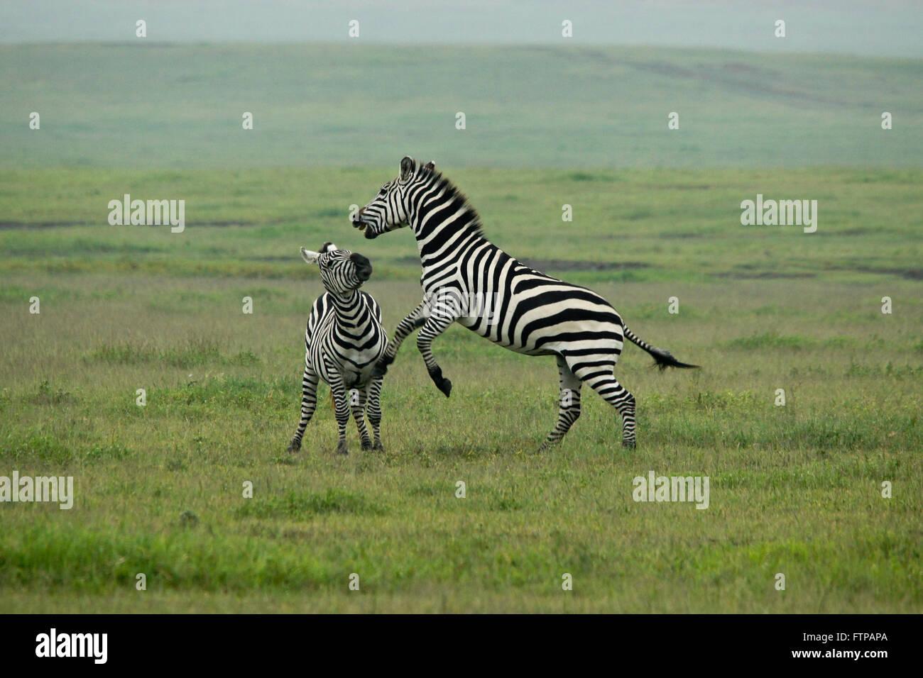 La Burchell (comune, pianure) zebra stalloni combattimenti, il cratere di Ngorongoro, Tanzania Immagini Stock