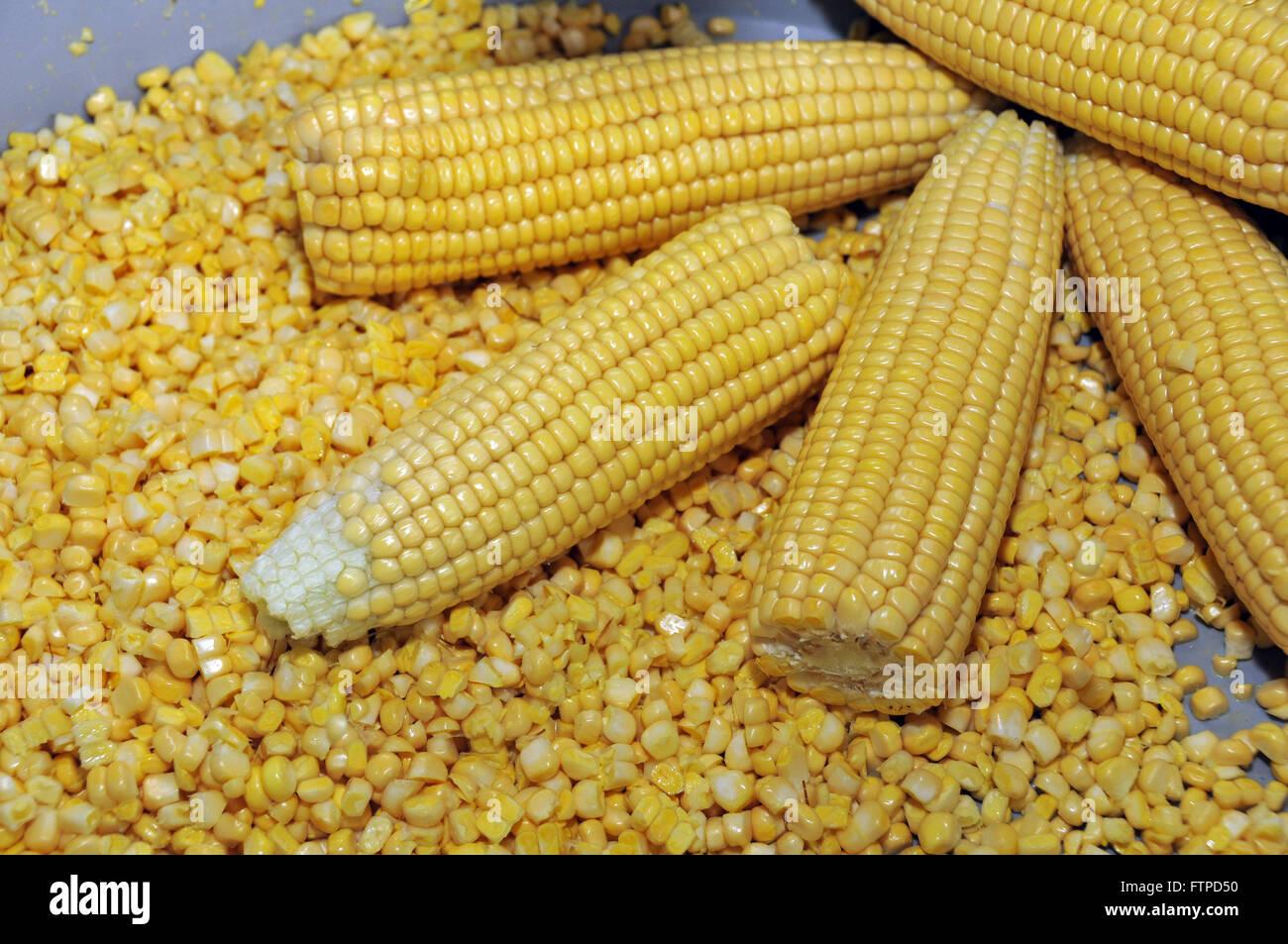 Spighe di grano per la produzione di polenta Immagini Stock