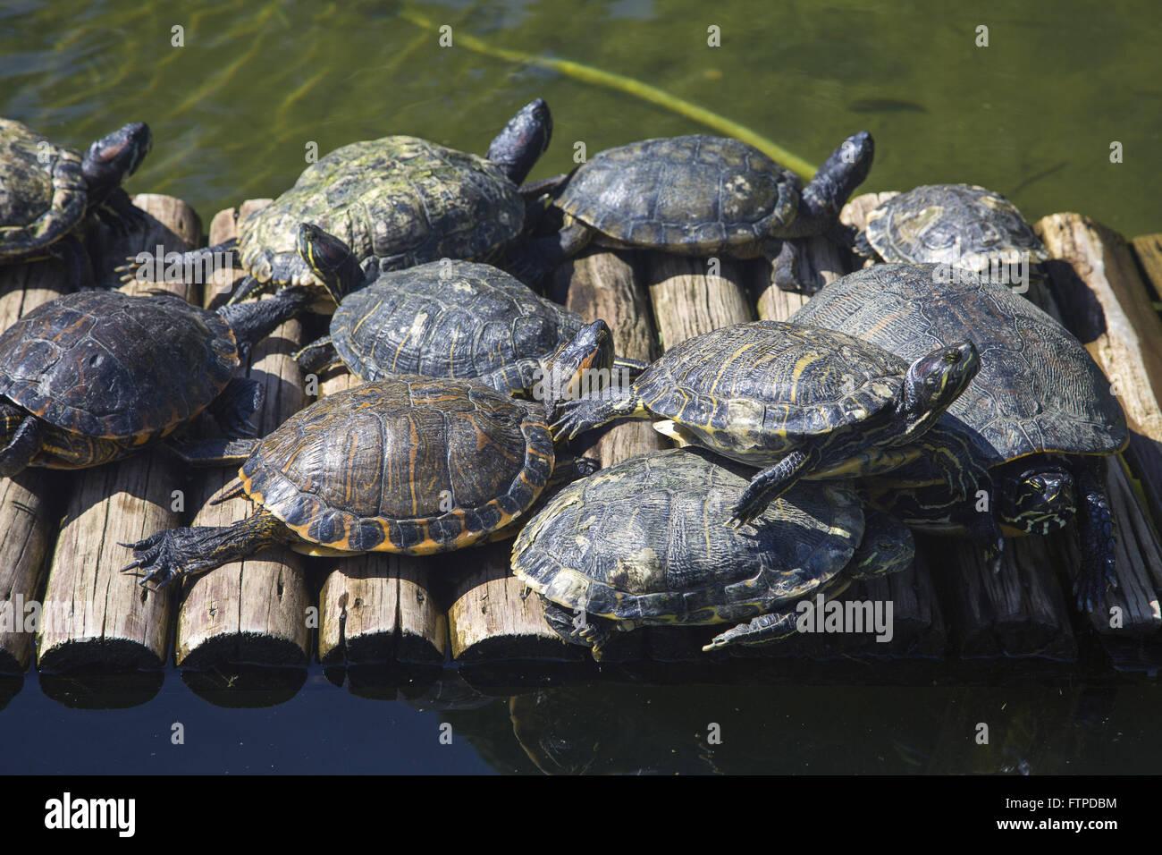 Le tartarughe marine nel lago Giardino Botanico di Rio de Janeiro Immagini Stock