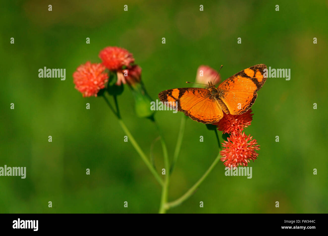 Nymphalidae (Nymphidae) farfalle tropicali (Argyrogrammana sticheli), Iguazú National Park, Paraná, Brasile Immagini Stock