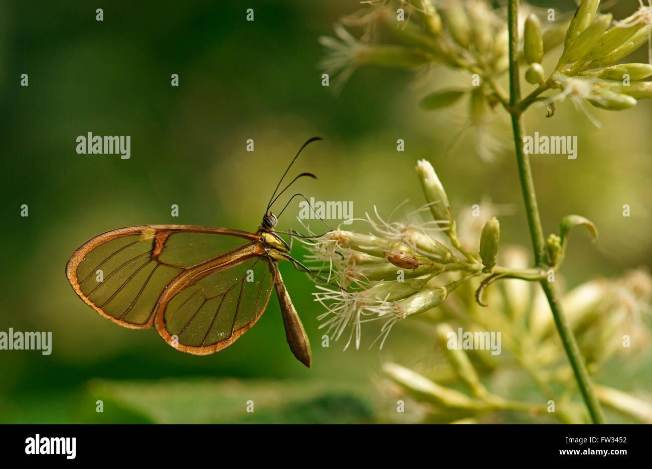 Clearwing, farfalle tropicali (Hypoleria lavinia), Iguazú National Park, Paraná, Brasile Immagini Stock