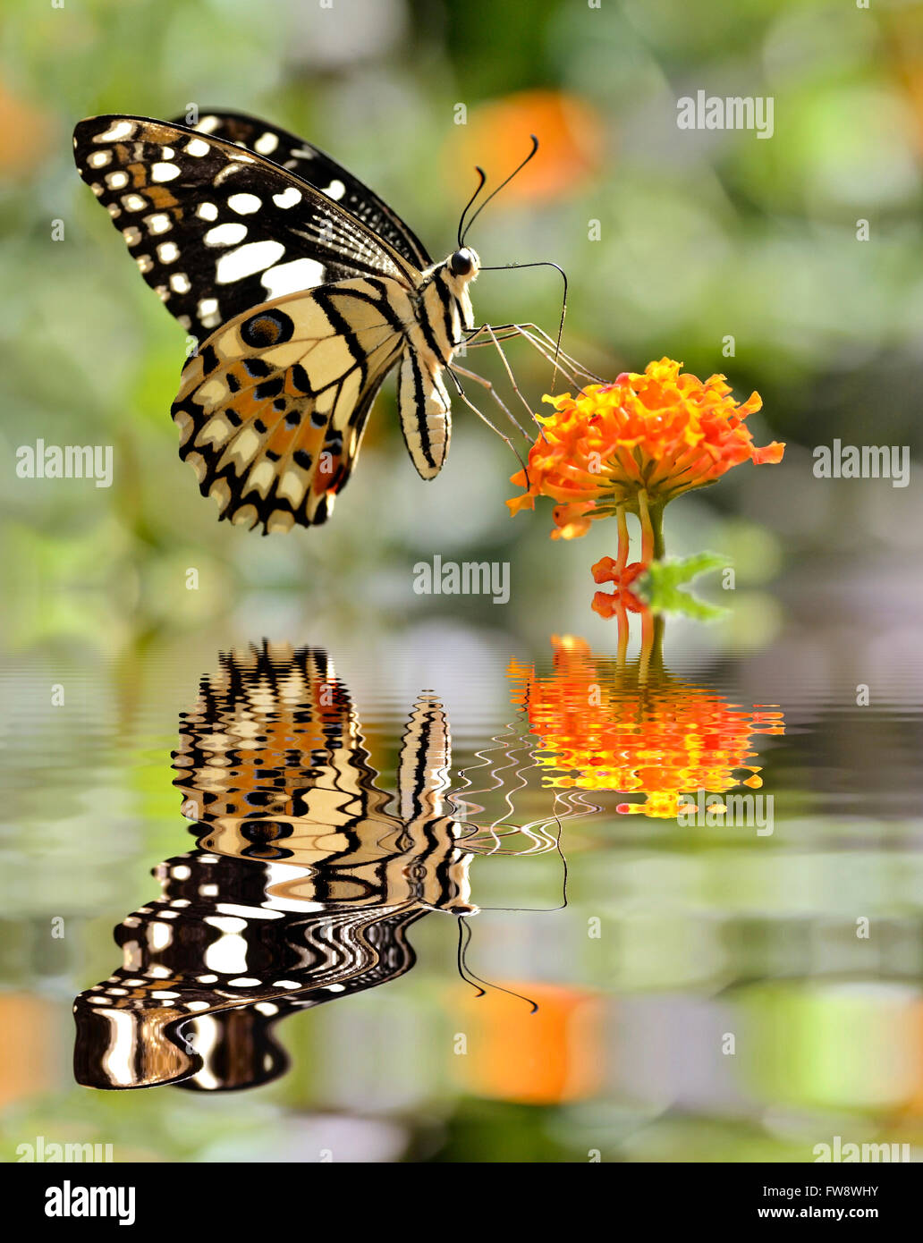 Lime butterfly (Papilio demoleus) alimentazione sul fiore (Lantana camara) al di sopra dell'acqua con grande Immagini Stock