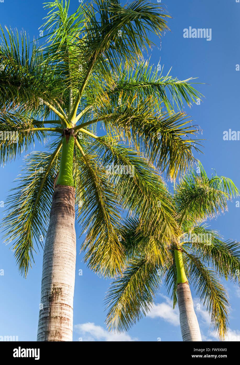Palm tree in Mauritius. Immagini Stock