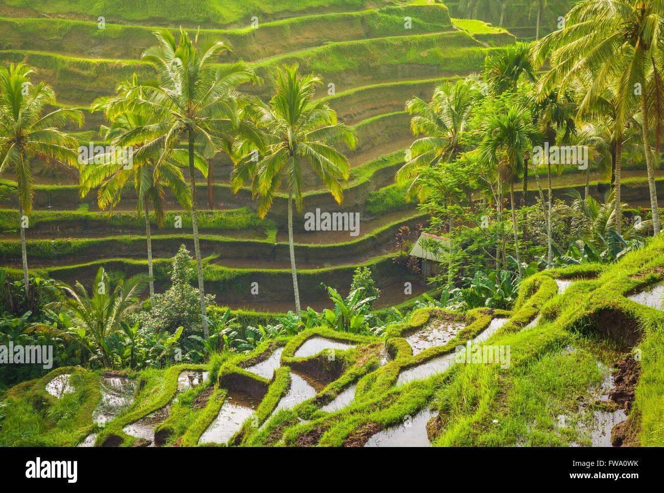 Bellissime terrazze di riso nella mattina luce nei pressi Tegallalang village, Ubud, Bali, Indonesia. Immagini Stock