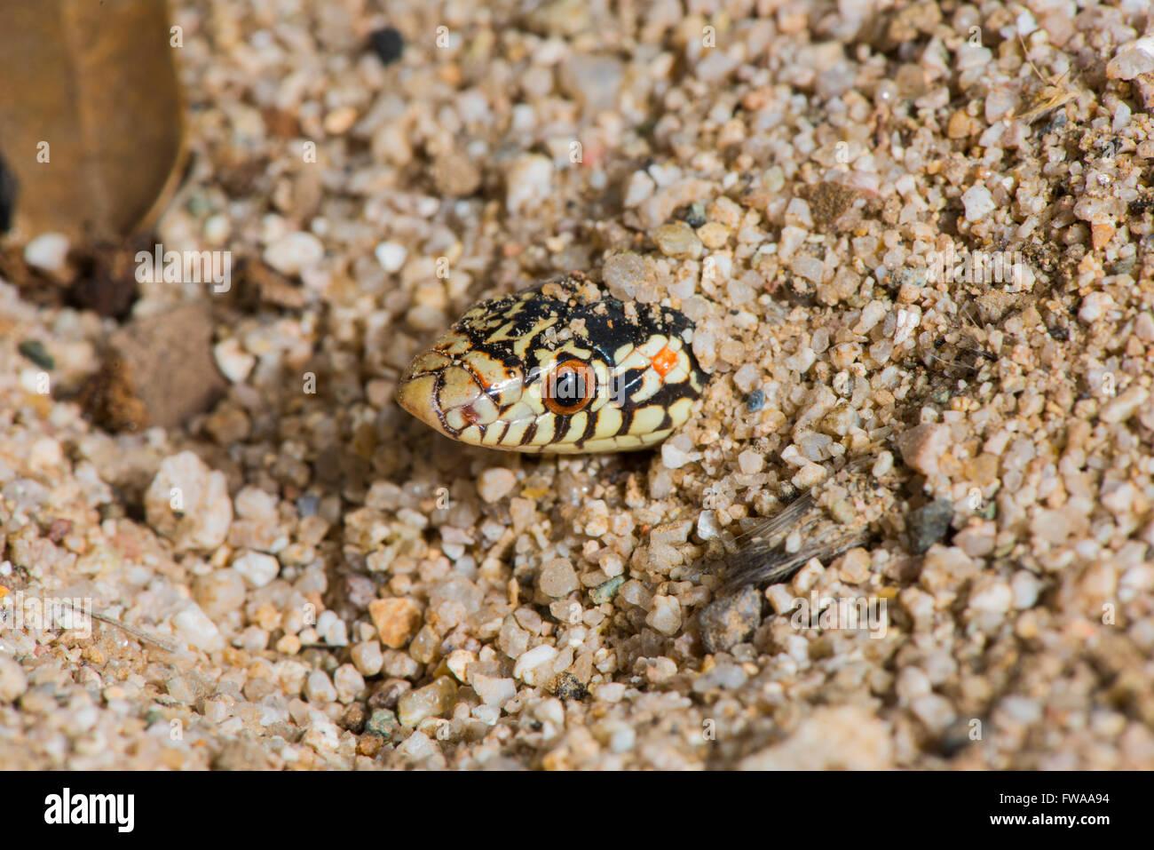 A becco lungo serpente lecontei Rhinocheilus Tucson Pima County, Arizona, Stati Uniti 12 agosto adulto Colubridae Immagini Stock