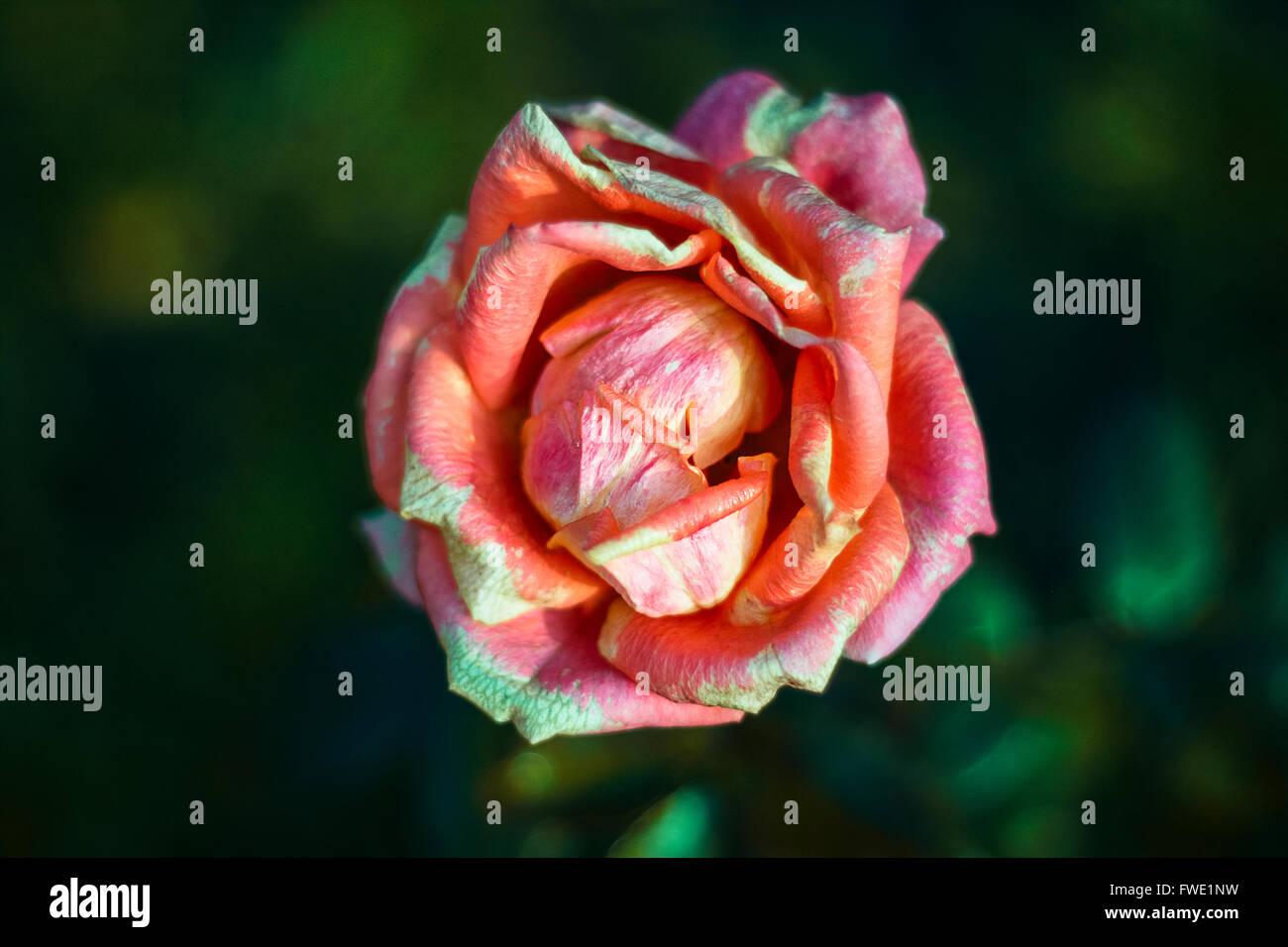 Aprire colorato bocciolo di invecchiamento di colore rosso-rosa ...