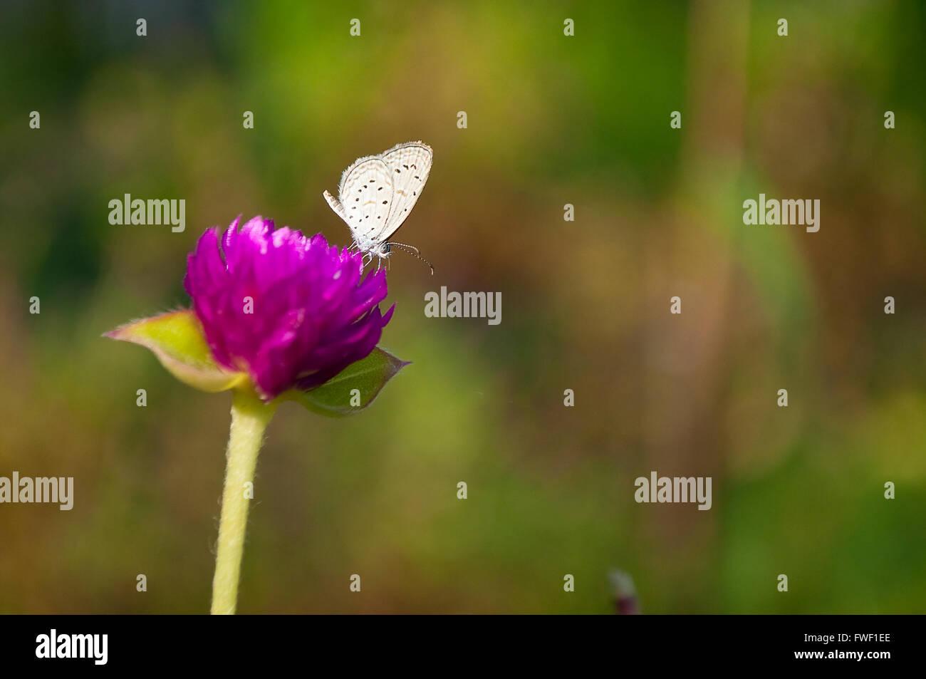 Hedge Blue Butterfly (genere Acytolepis) sul globo viola Amaranto (Gomphrena globosa) fiore Immagini Stock