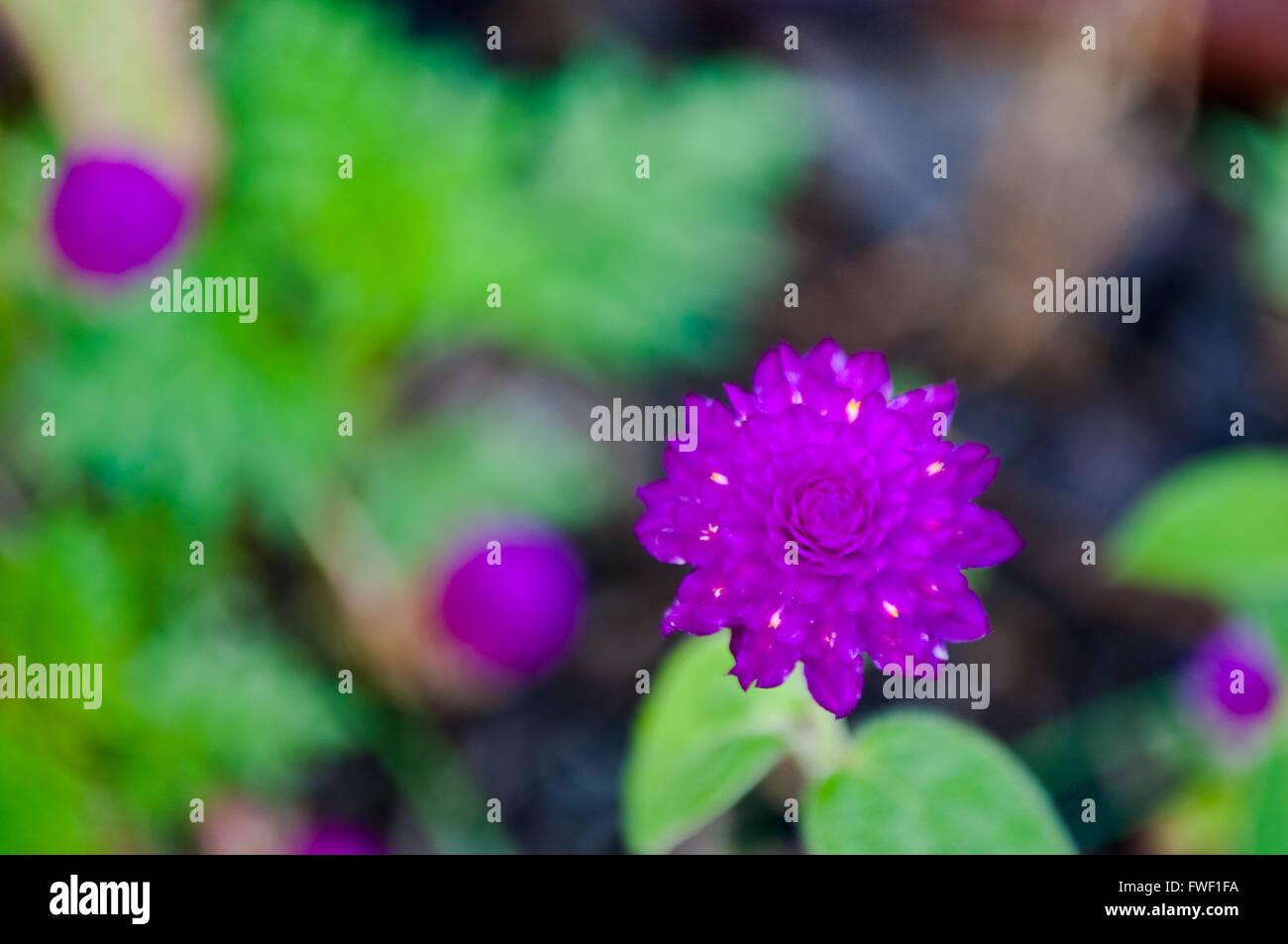 Violet Globe Amaranto (Gomphrena globosa) fiore vista superiore Immagini Stock