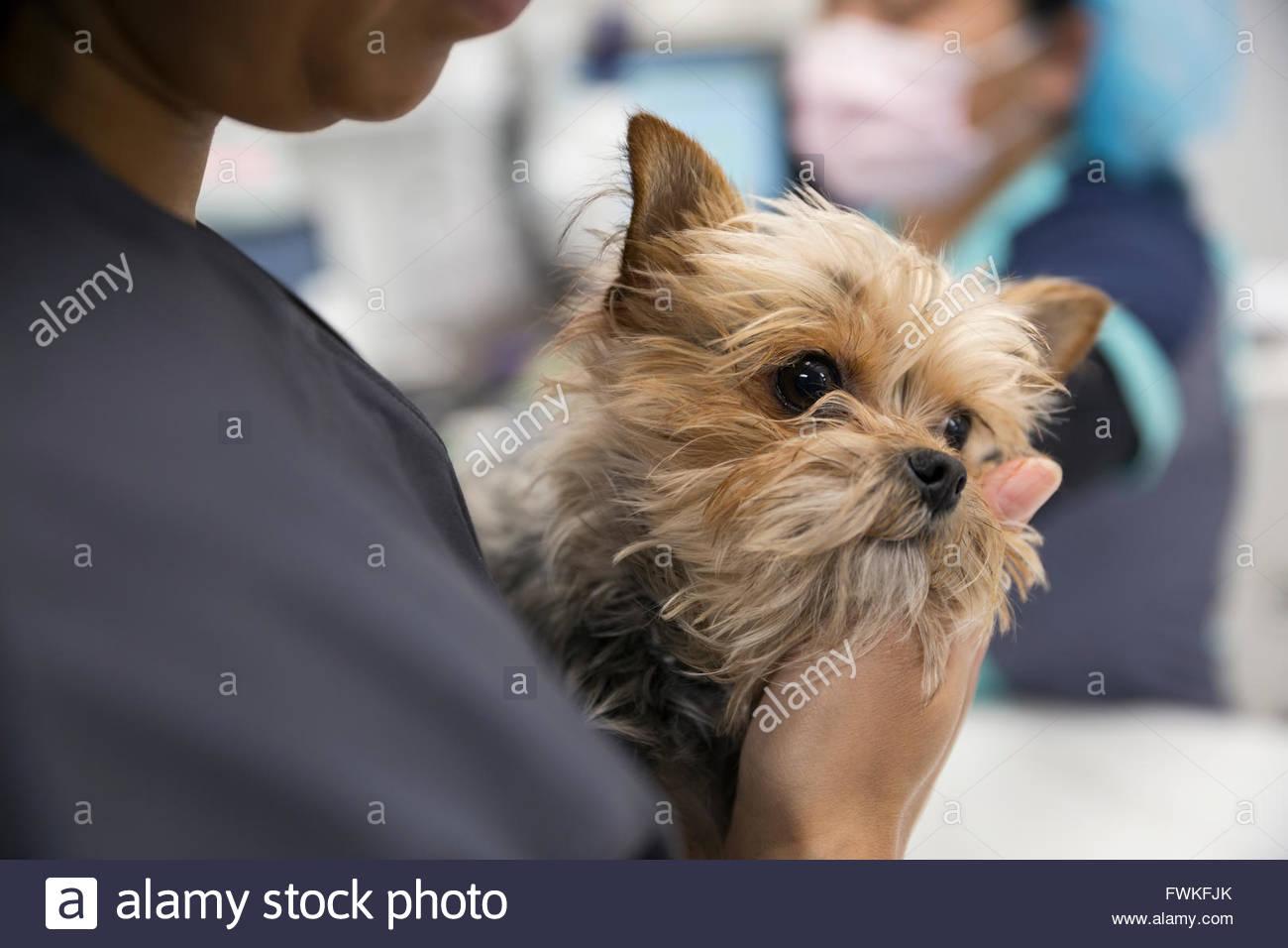 Close up del veterinario azienda timida clinica del cane Immagini Stock