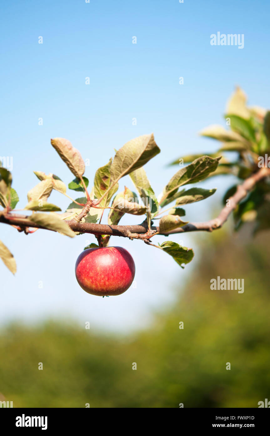 La Svezia, Skane, Kivik, rosso apple su apple tree Immagini Stock