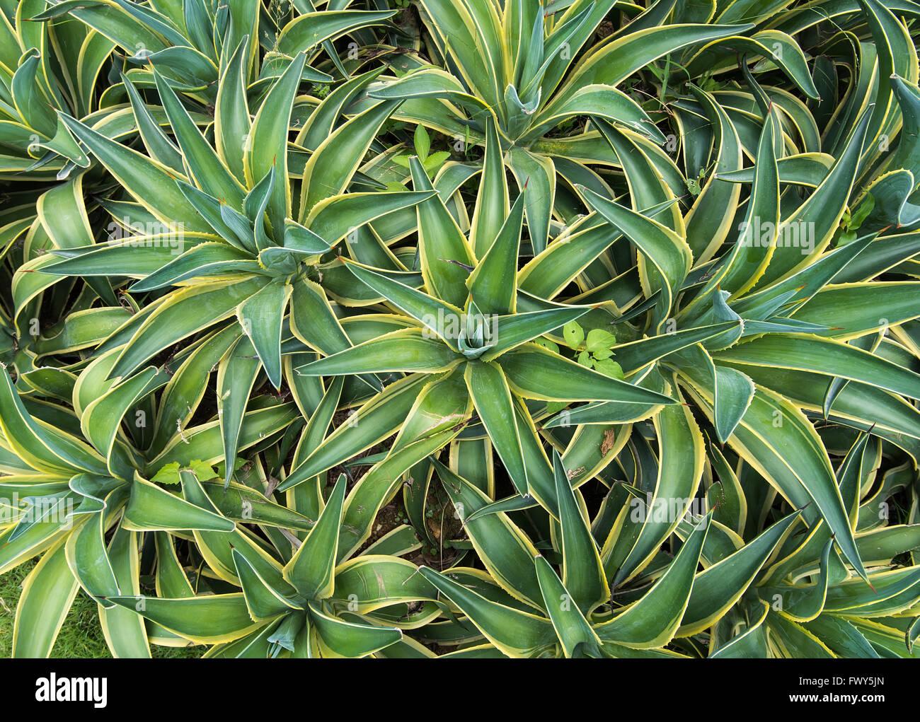 Punta aguzza agave foglie di pianta Immagini Stock