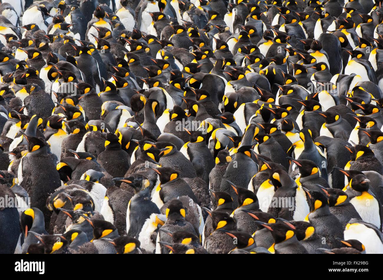 Pinguino reale (Aptenodytes patagonicus) colonia, St Andrews Bay, Isola Georgia del Sud Immagini Stock