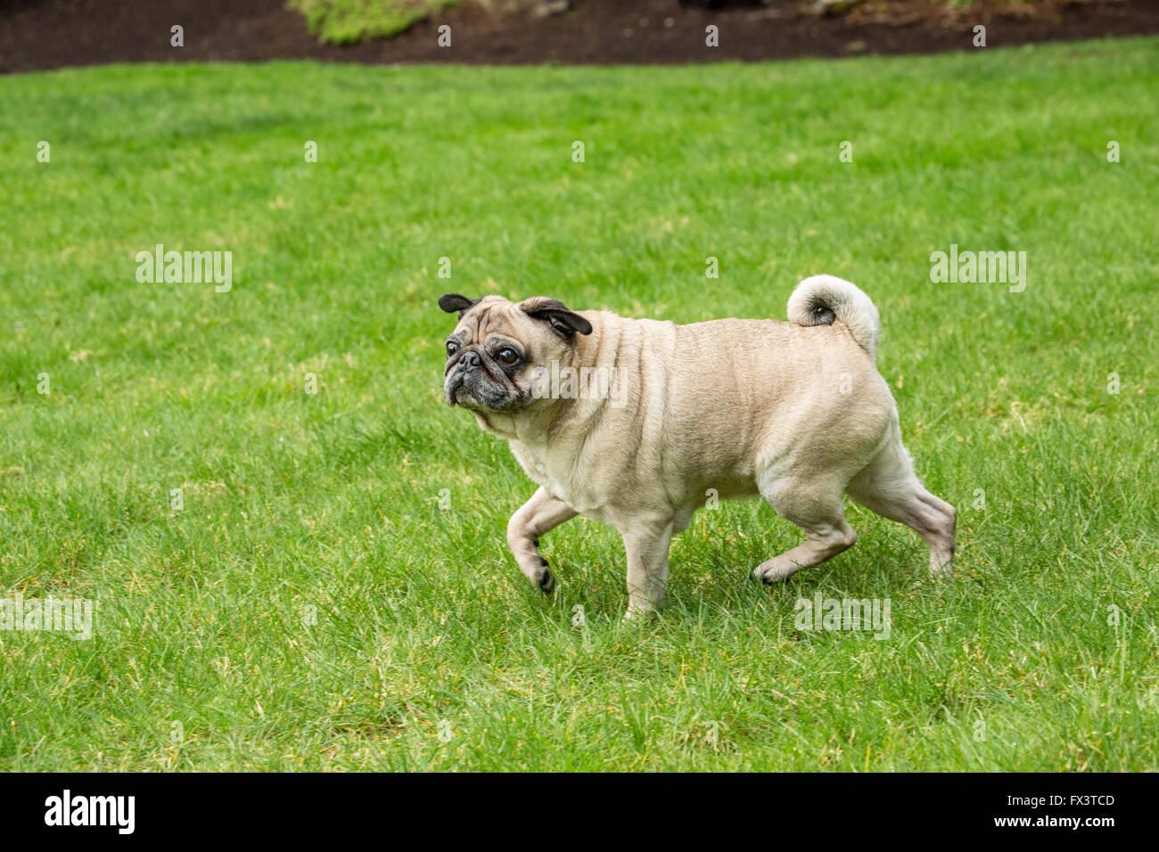 Cabo, un anziano fawn Pug esplorando il suo cantiere a Redmond, Washington, Stati Uniti d'America Immagini Stock