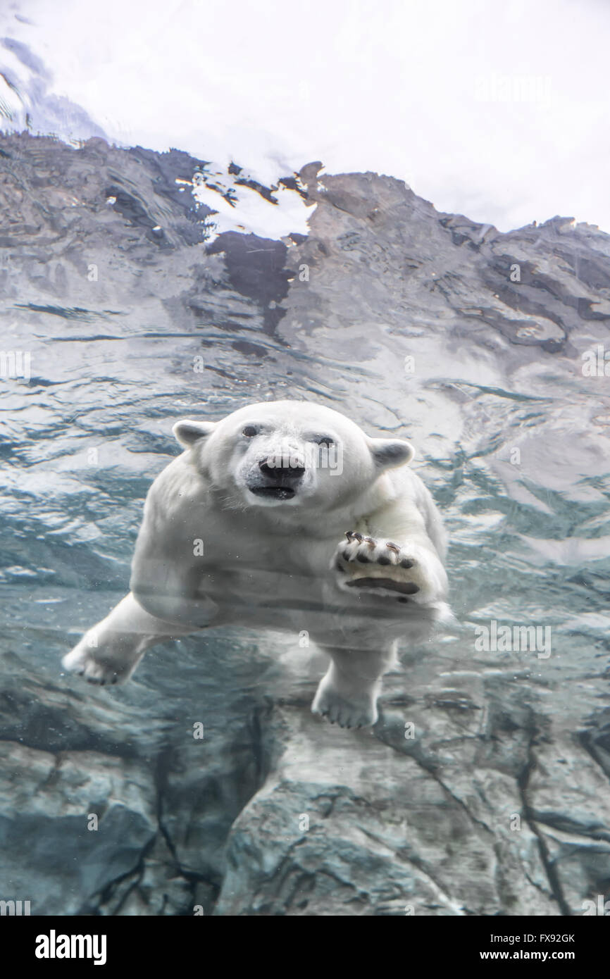 Orso polare nuoto sott'acqua di viaggio a Churchill, Assiniboine Park Zoo, Winnipeg, Manitoba, Canada. Immagini Stock