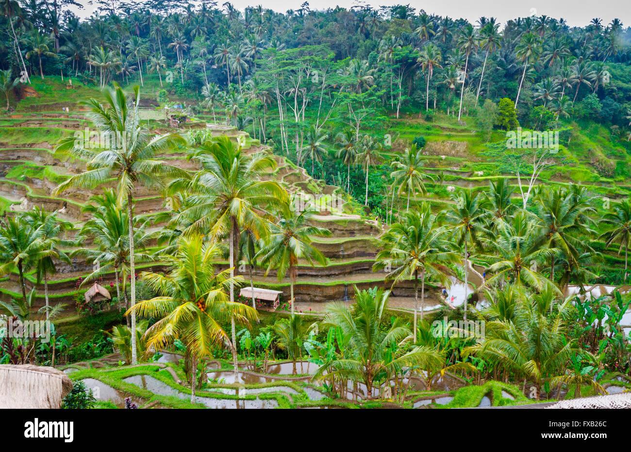 Tegallalang campo di riso. Bali. Indonesia asia. Immagini Stock