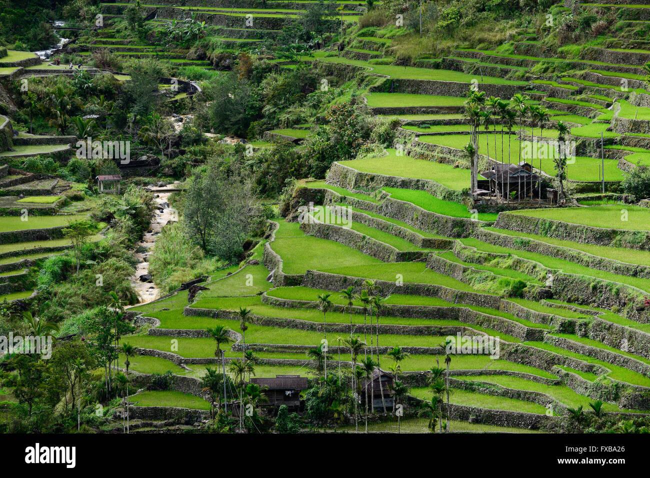 Filippine, Ifugao Provincia, Cordigliera, Banaue, Hunduan, la ...