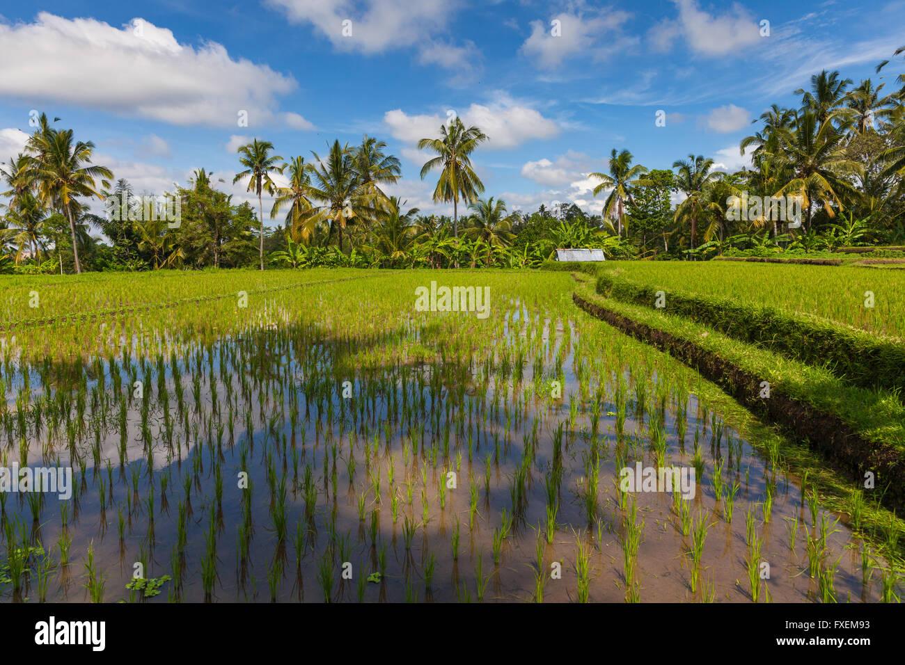 Paesaggio diurno dei campi di riso in Ubud, Bali, Indonesia. Immagini Stock