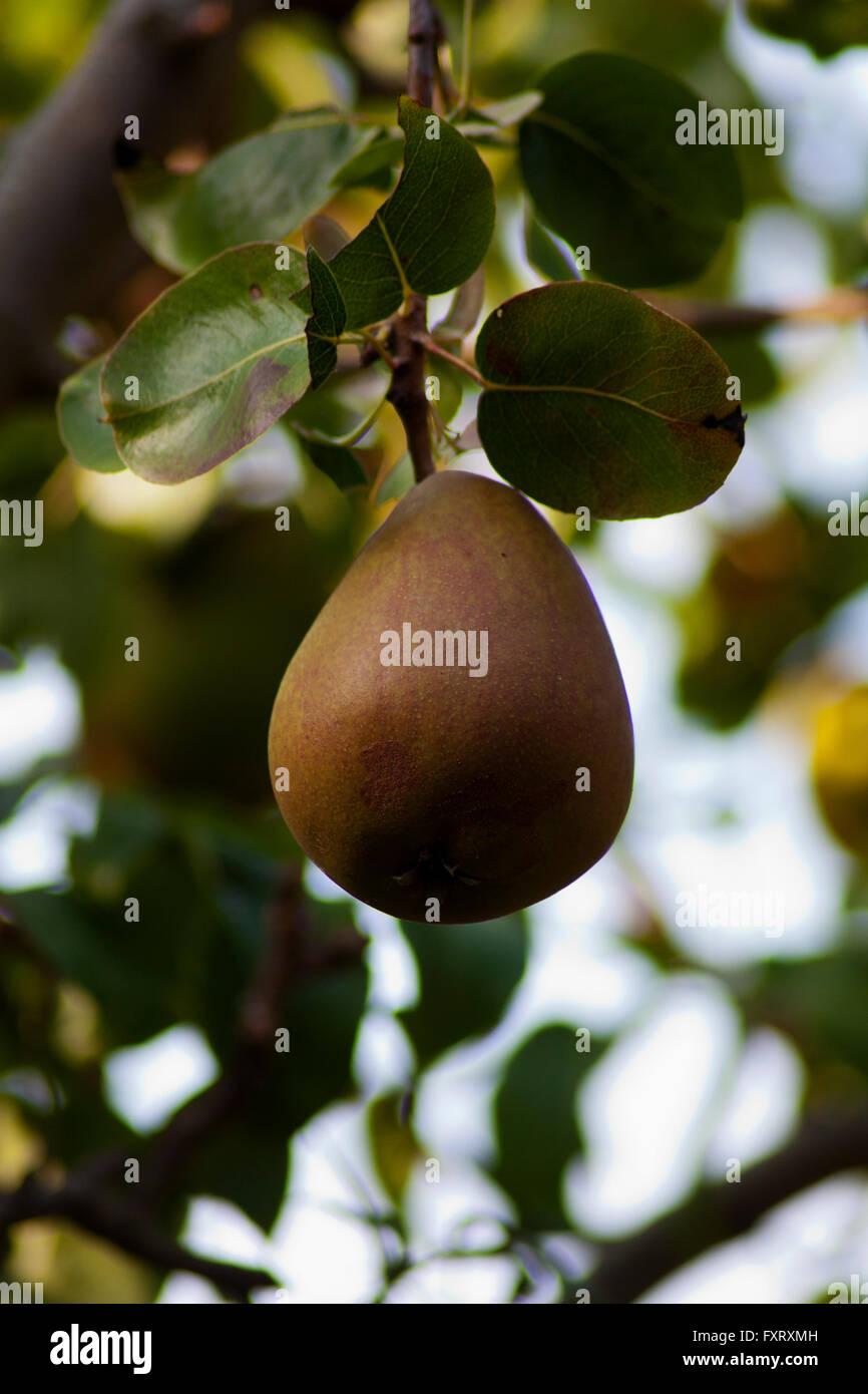 Stretto colpo di singola pera appeso su albero Immagini Stock