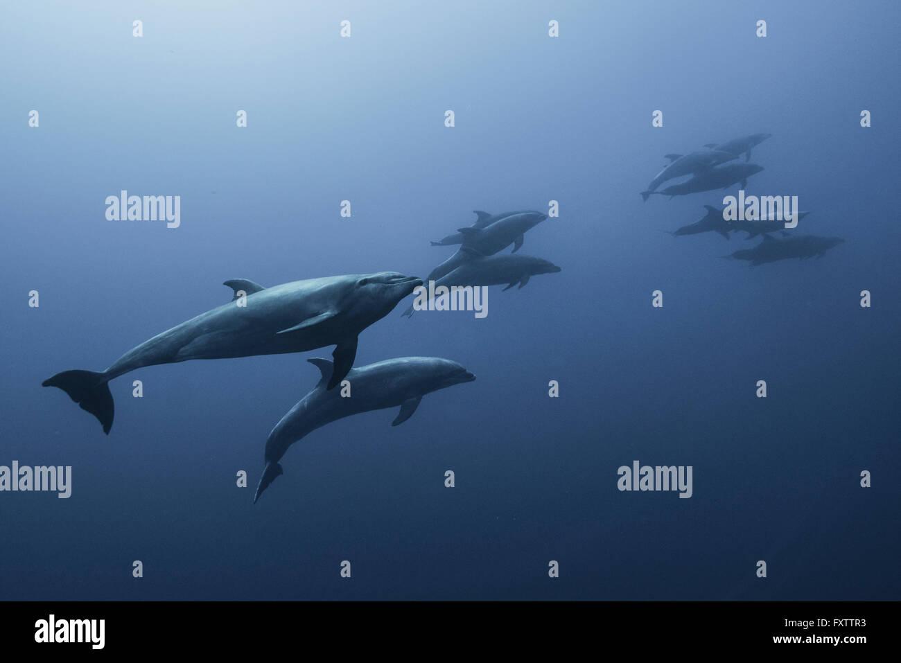 Famiglia del tursiope (Tursiops truncatus) nuotare fino dal profondo blu Immagini Stock