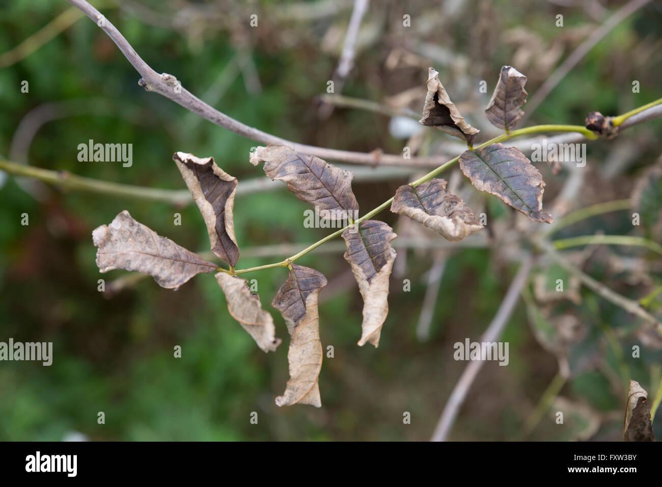 Il frassino; Fraxinus excelsior lascia morire Yorkshire; Regno Unito Immagini Stock