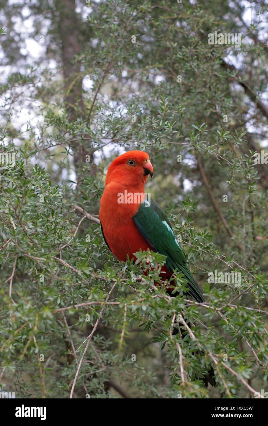 Unico re australiano parrot Alisterus scapularis, circondato da native bush australiano. Immagini Stock