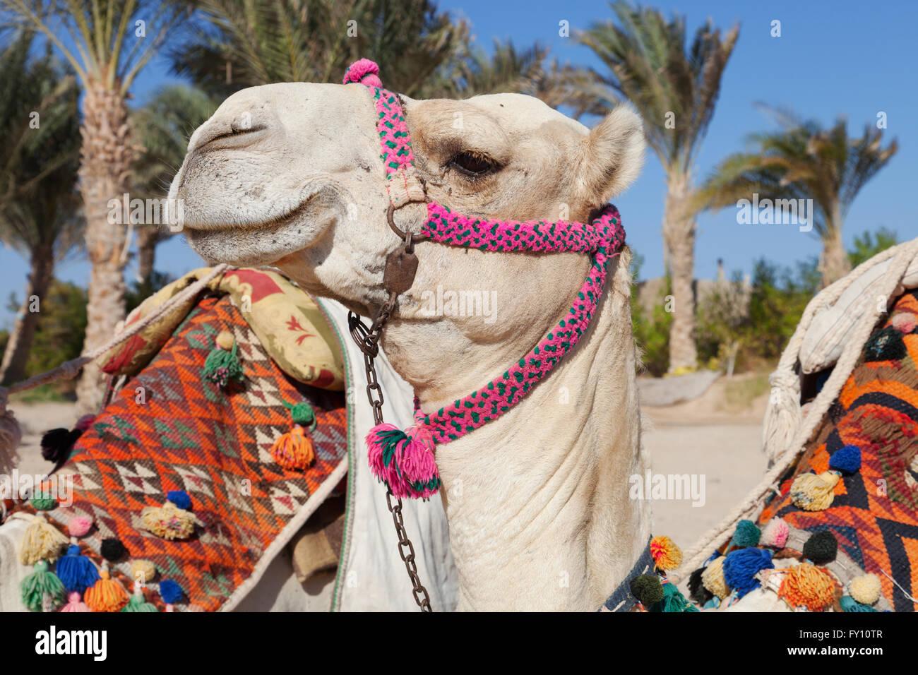 Colorato testa di cammello in Egitto Immagini Stock