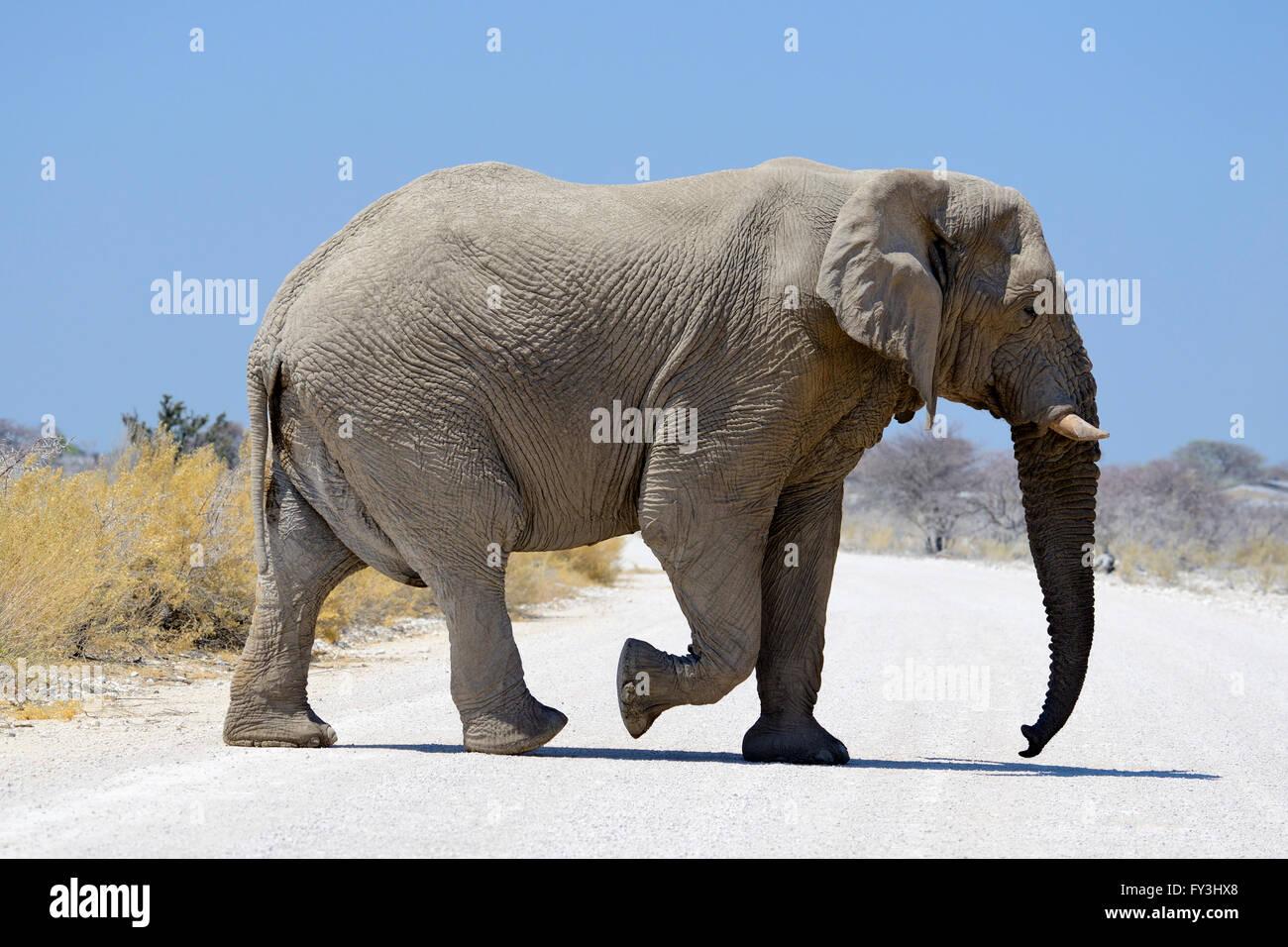 Solitaria bull africano Elefante africano (Loxodonta africana) attraversamento di strada sterrata in Etosha National Immagini Stock