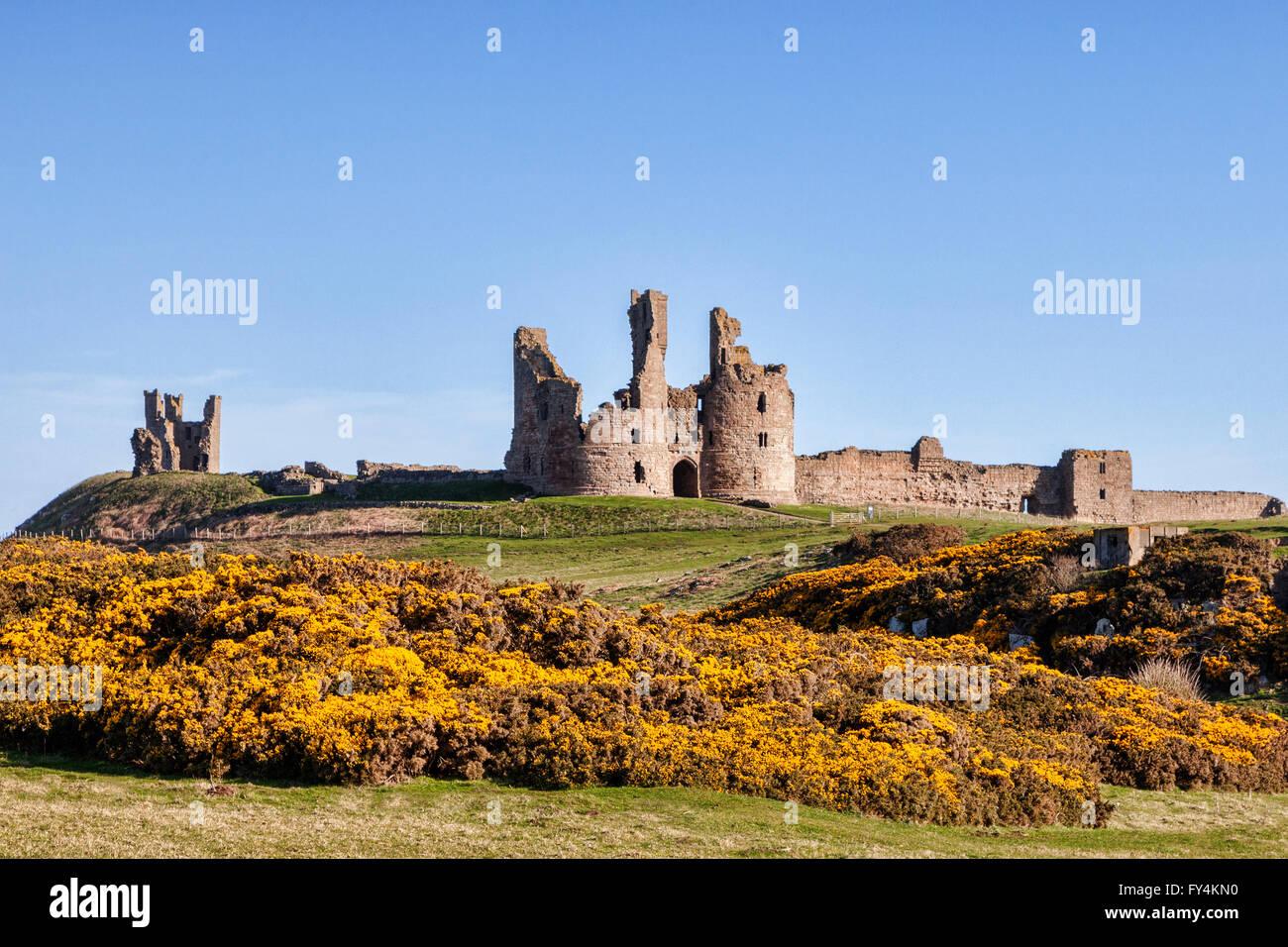 Il castello di Dunstanburgh in primavera, con giallo ginestre in fiore, Northumberland, England, Regno Unito Immagini Stock