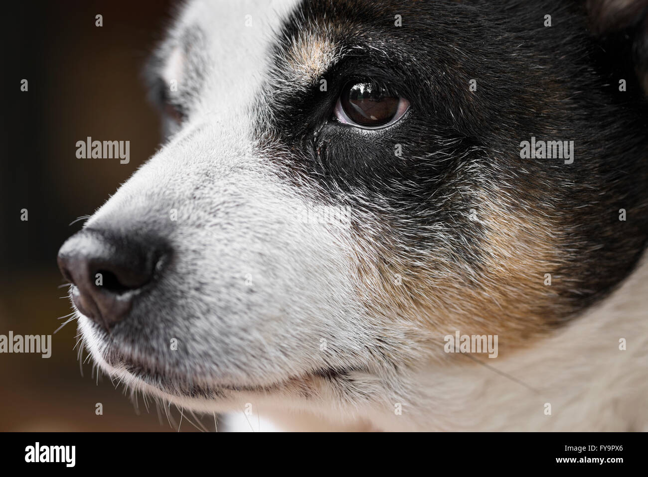 Cose su ritratto di un vecchio cane. Rat terrier profilo. Immagini Stock