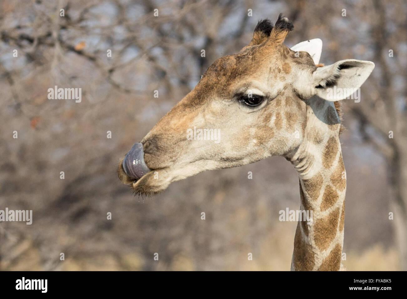 Giraffe bere il Parco Nazionale di Etosha Giraffe leccare le labbra dopo aver bevuto il Parco Nazionale di Etosha Immagini Stock